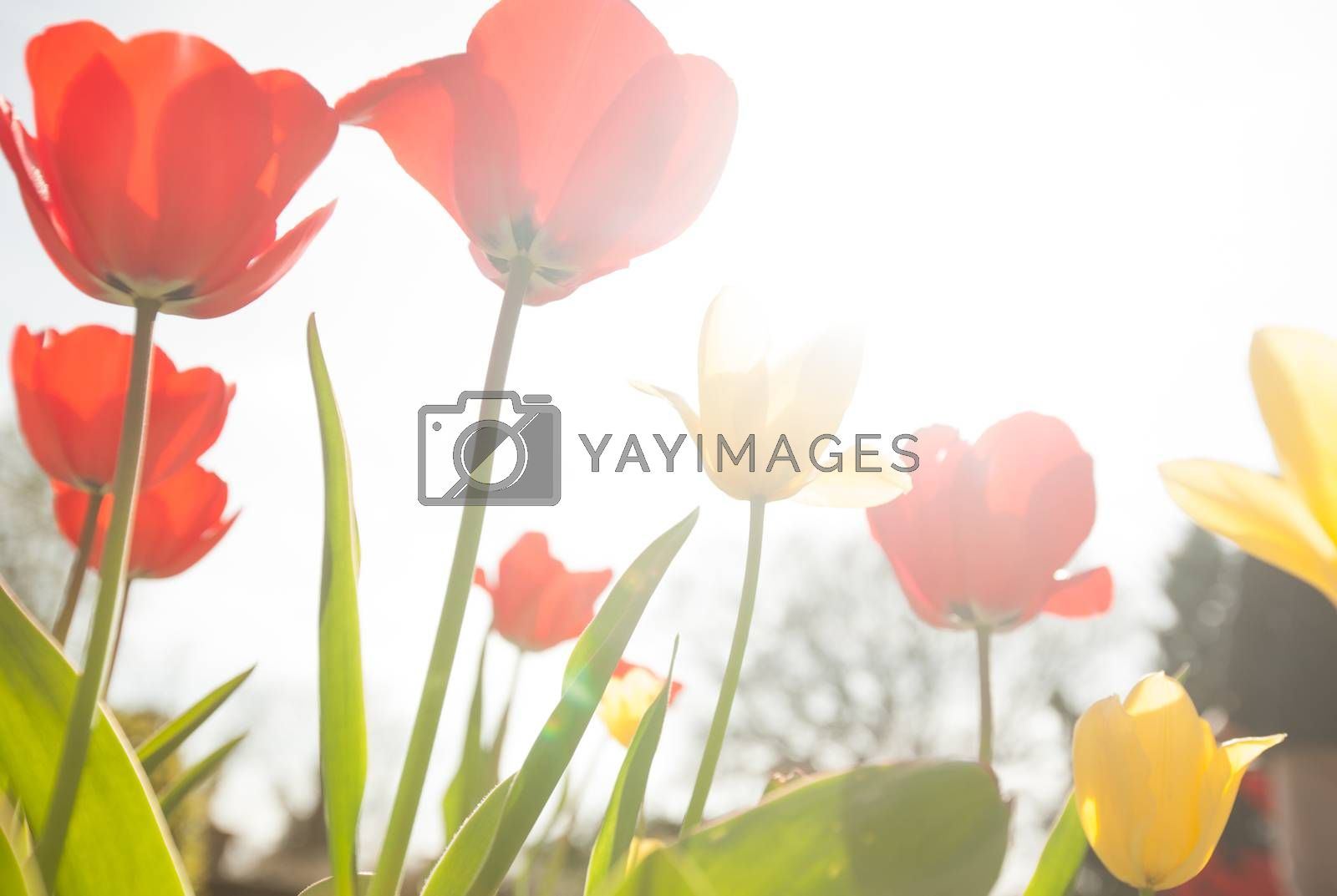 Red and yellow tulips in the garden in spring
