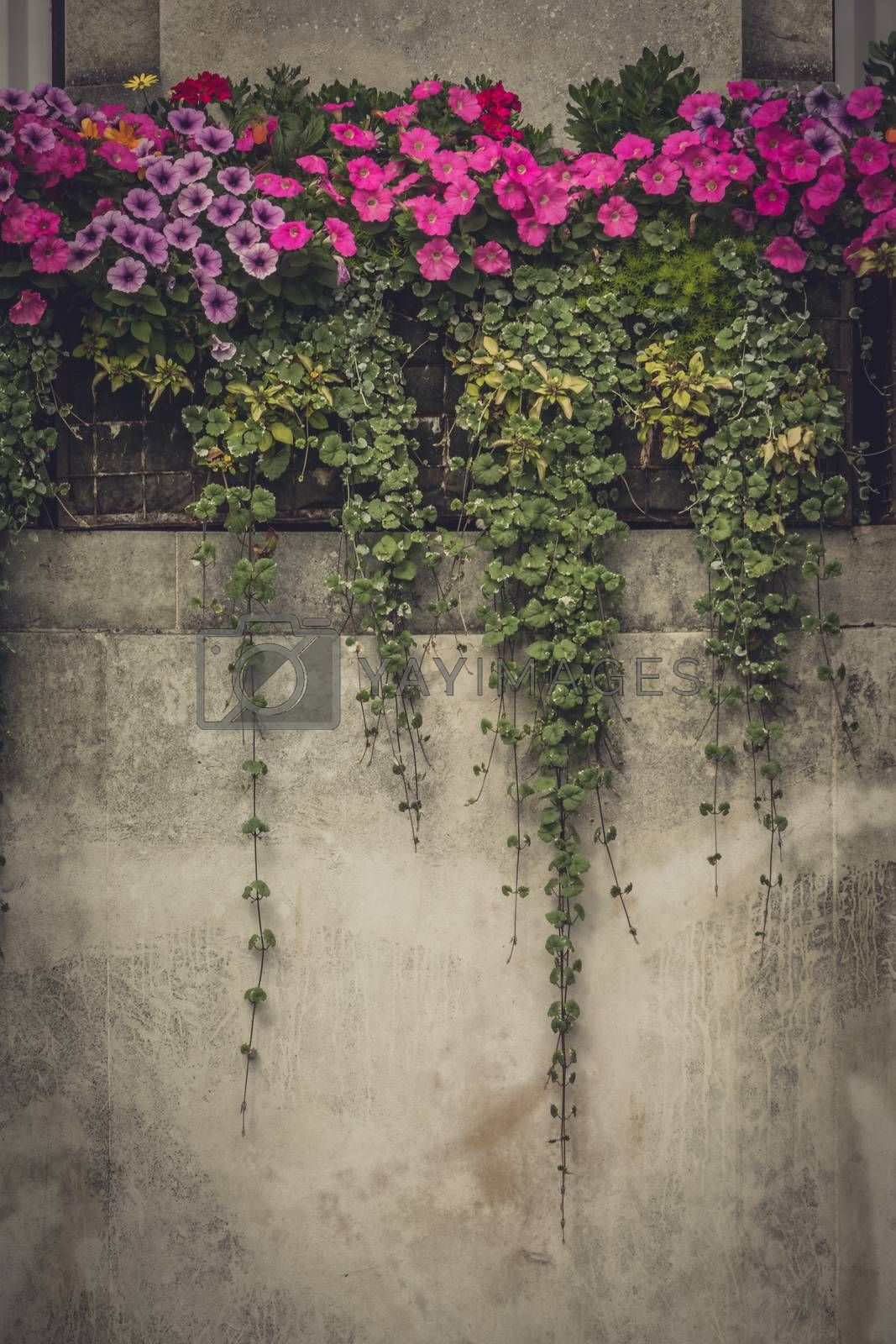 Pink petunia flowers growing on a old house wall
