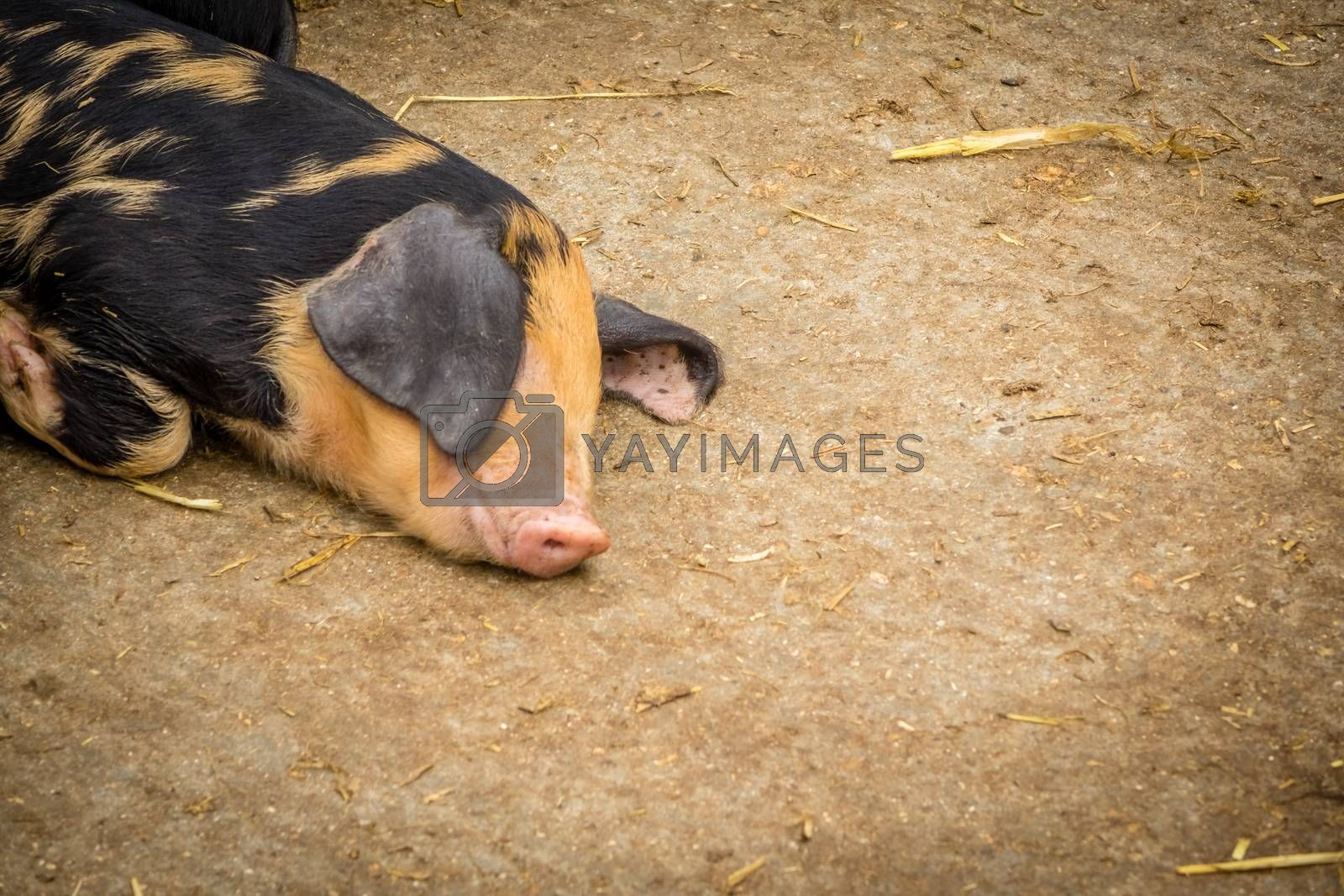 Pig sleeping on the ground in a barn