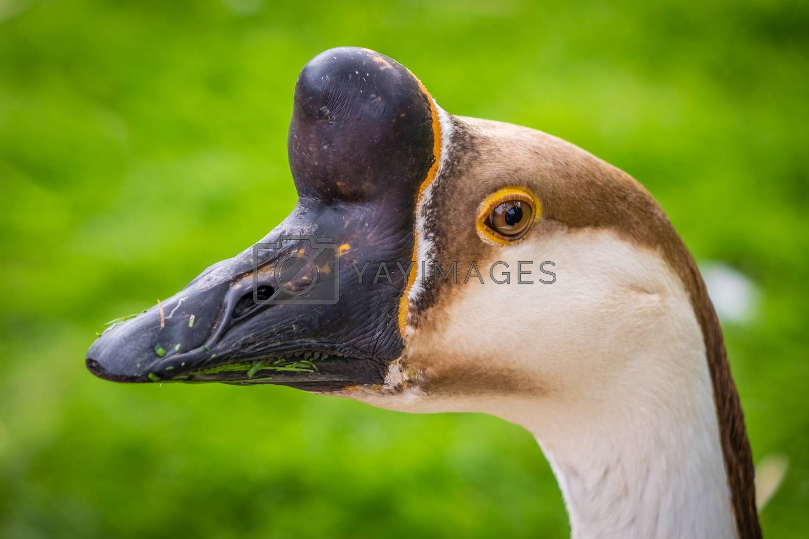 Close up of a head of a geese