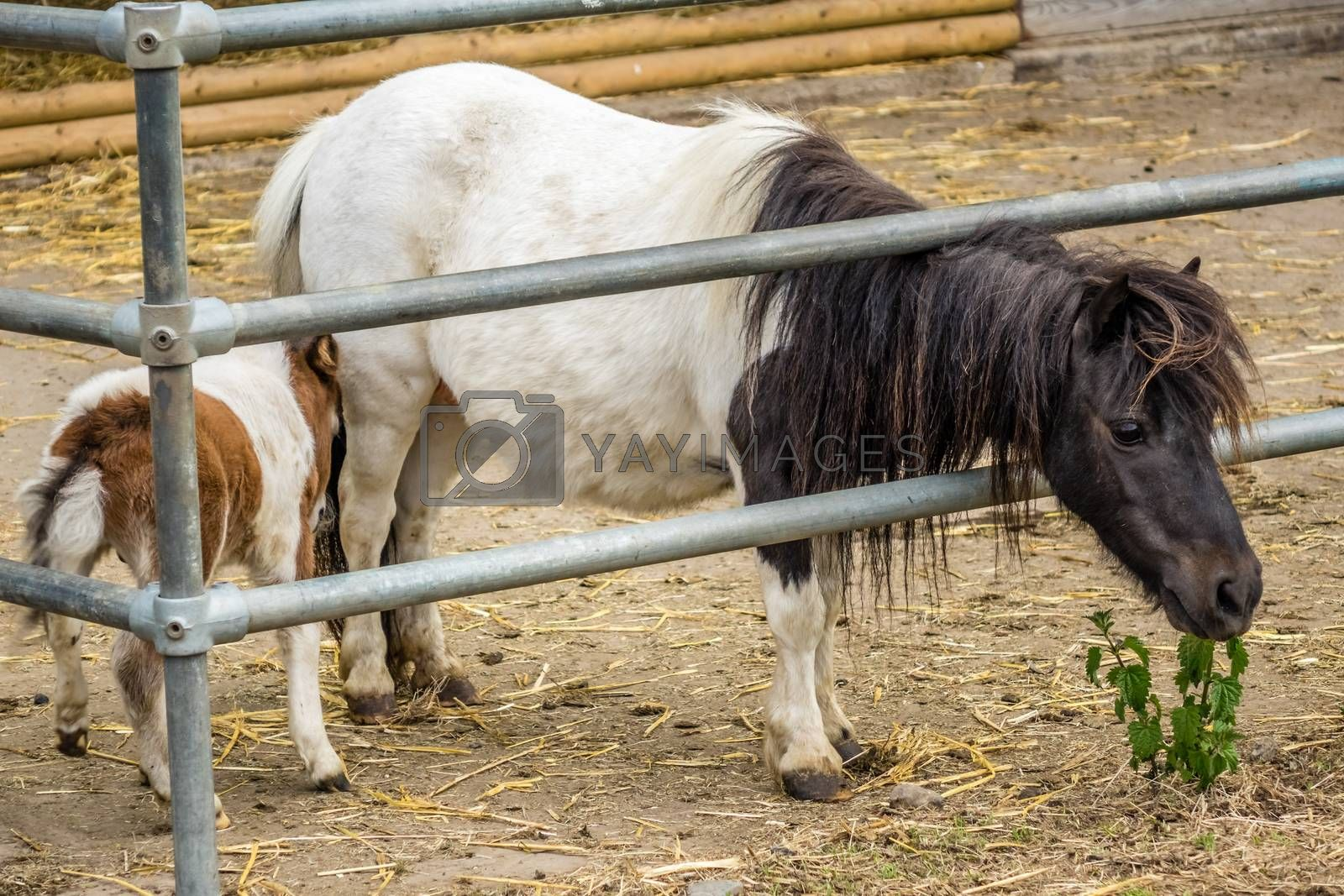 Two little ponnies living on the farm