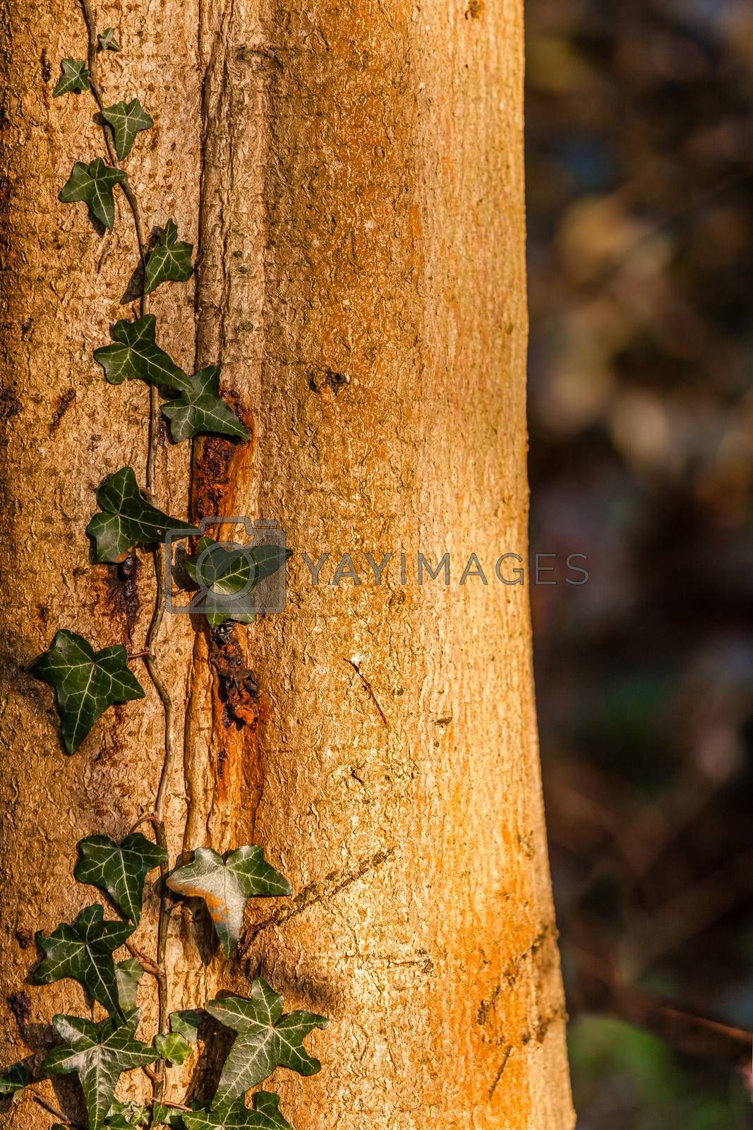 Closeup of green ivy growing on an old tree trunk