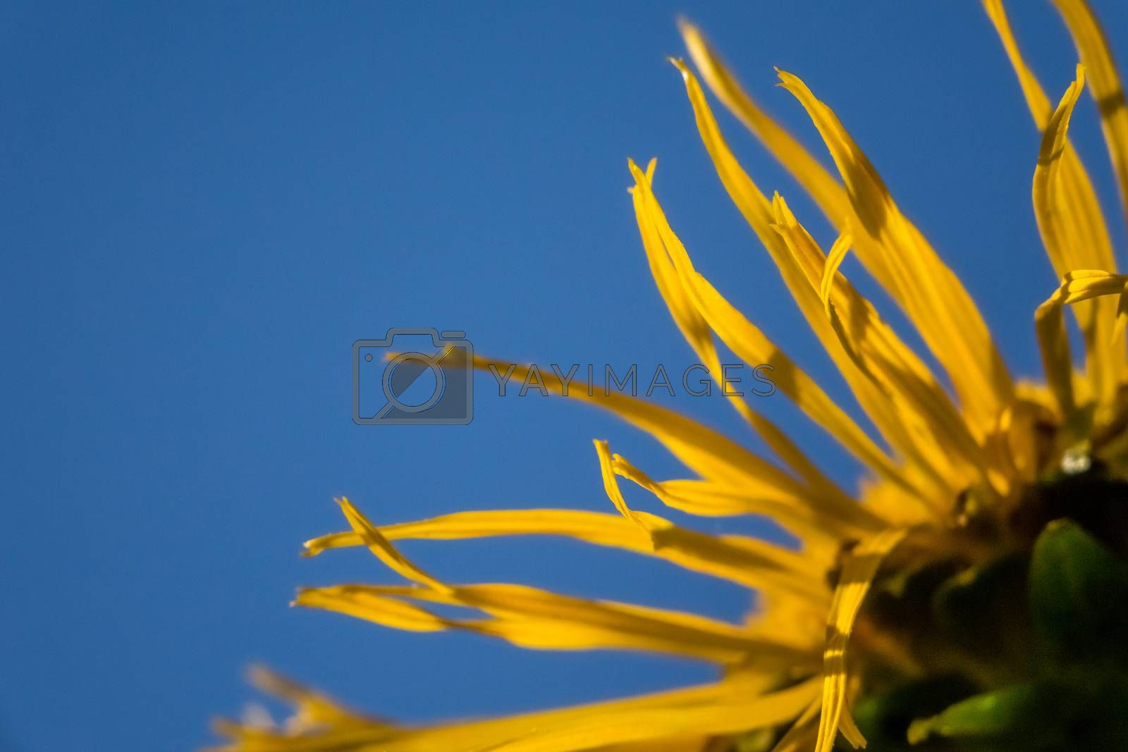 Close up of a dying sunflower ( Helianthus )