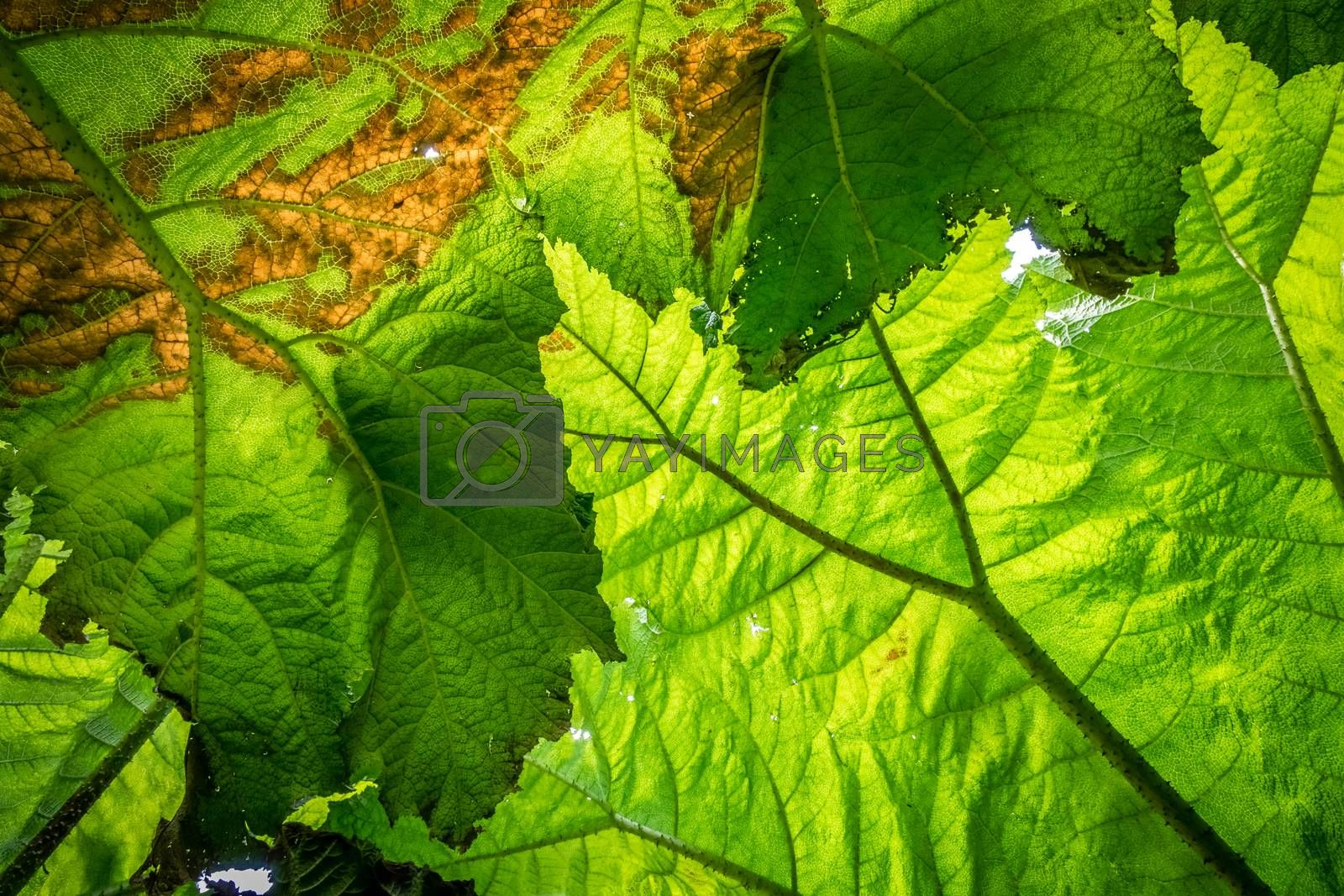 Close up of a texture of a large green leaf