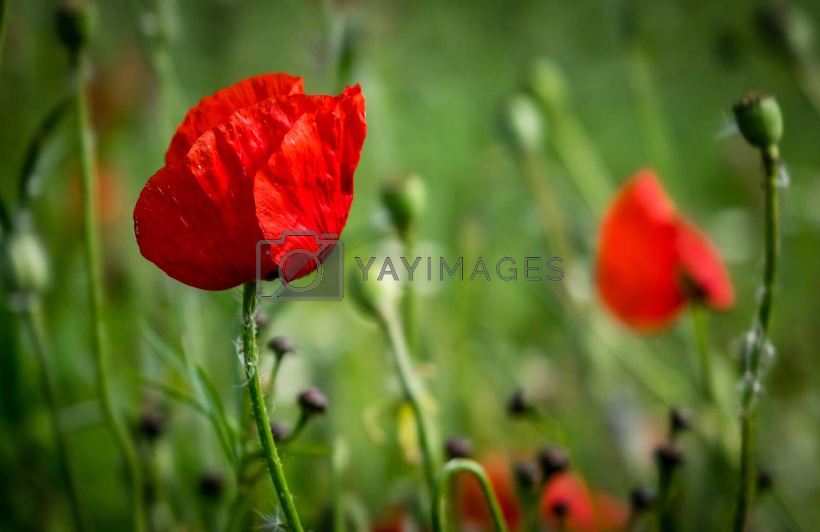 Bright red poppy flower on a meadow in summer