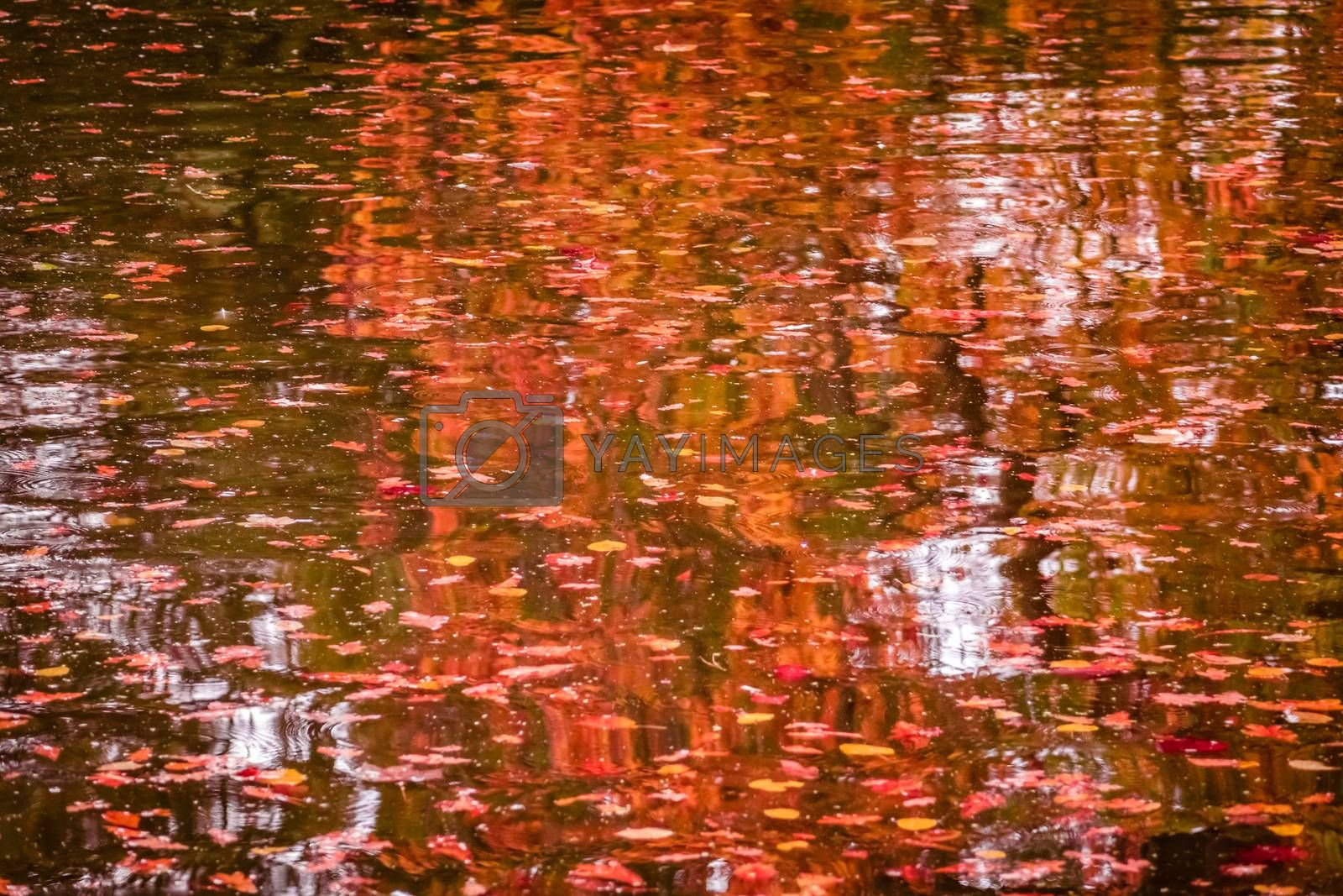 Red and purple leaves on the water surface on a lake in autumn