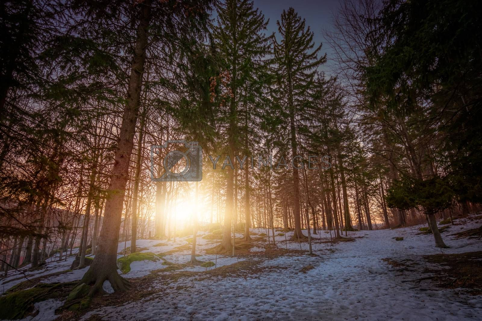 Sun shining through the tree branches in the forest in winter, Karkonosze mountains, Poland