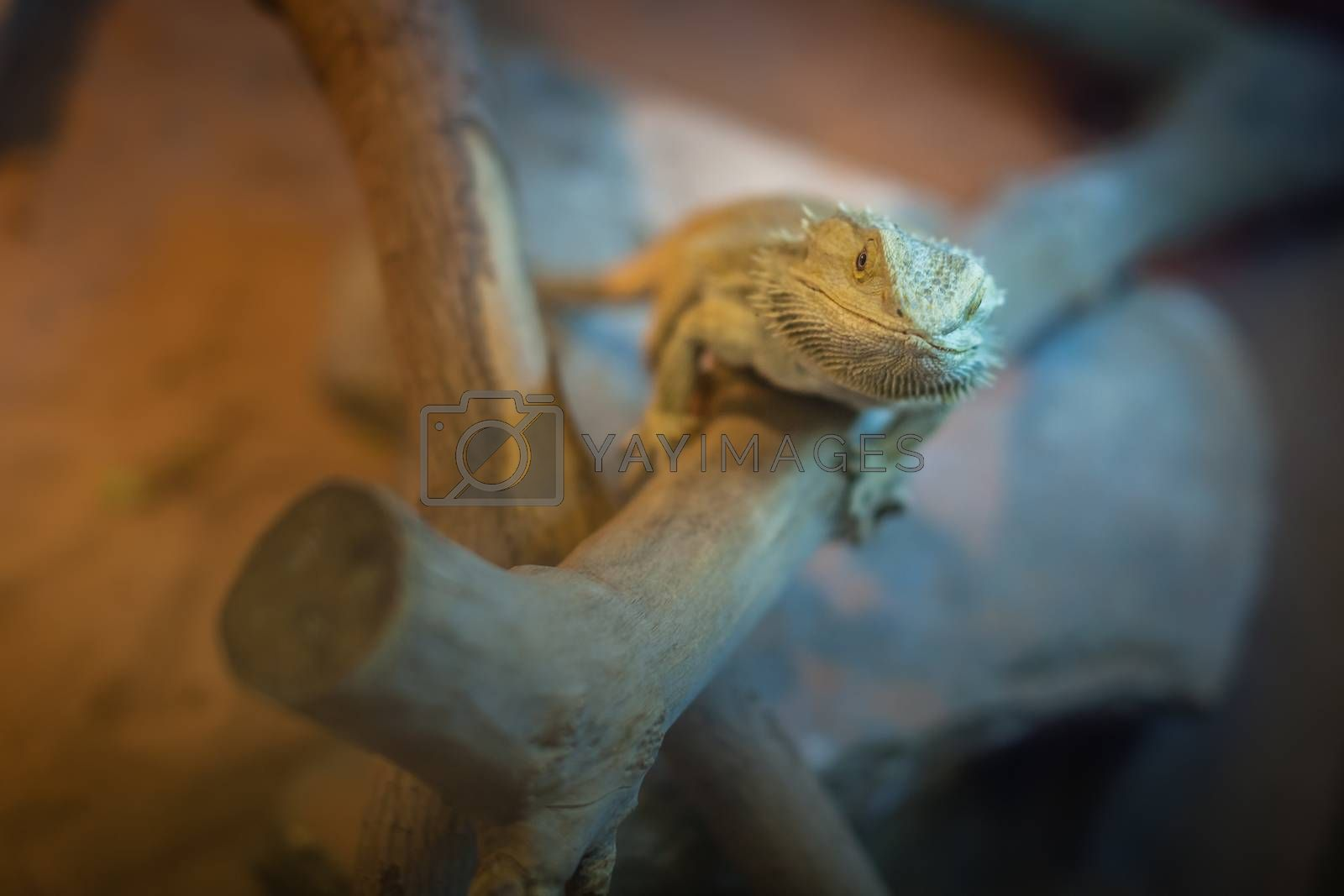 Bearded Dragon lizard sitting on a branch in a cage in the zoo