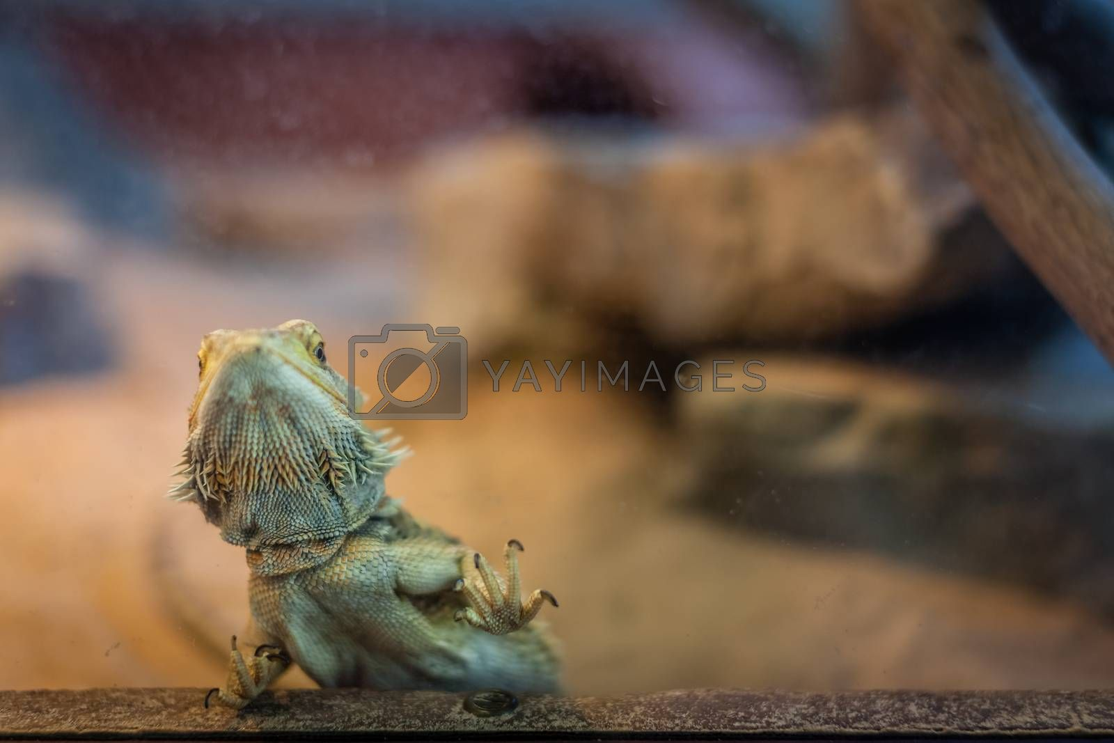 Bearded Dragon lizard looking throgh the cage window in a zoo