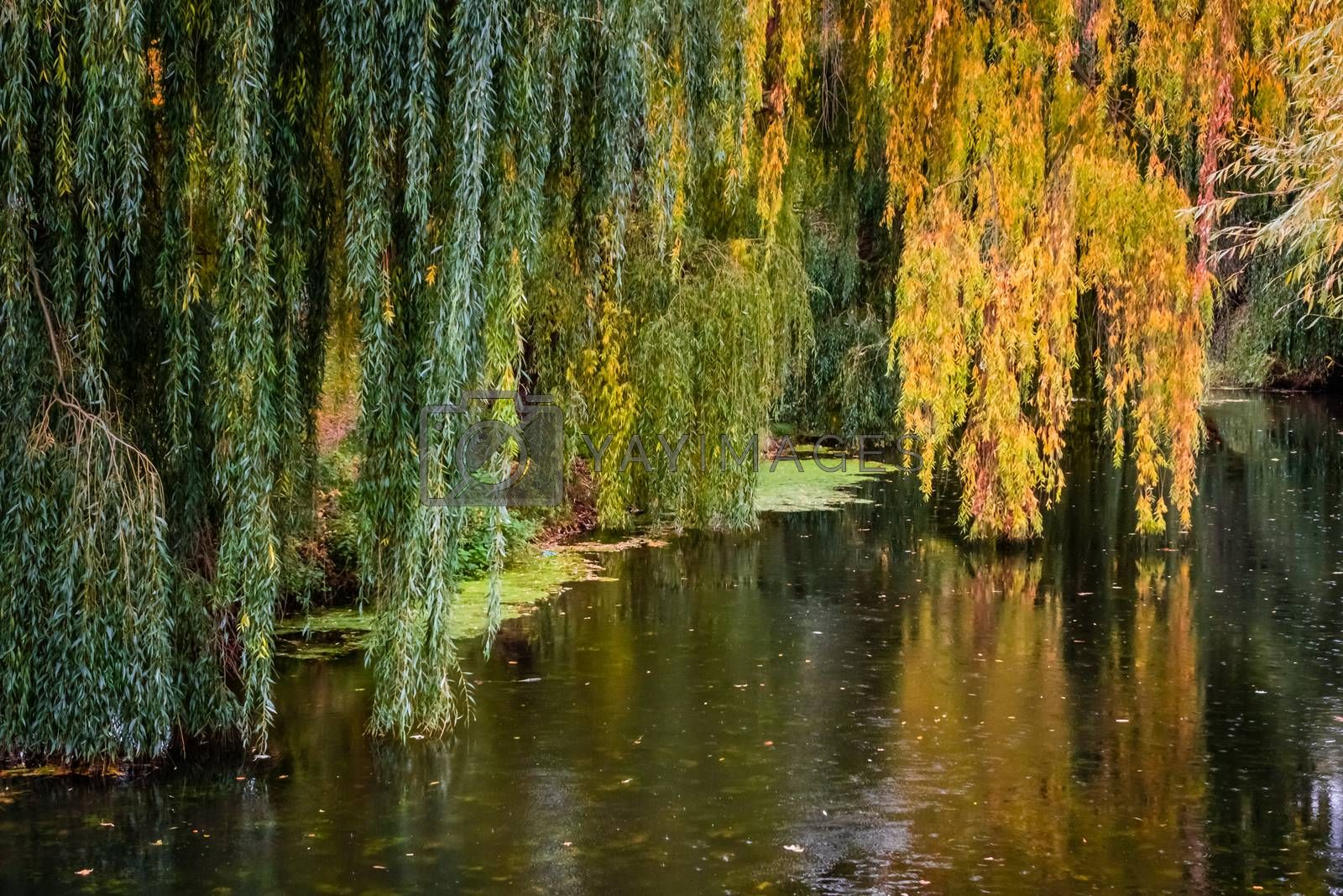 Yellow leaves on tree reflecting in a river in autumn