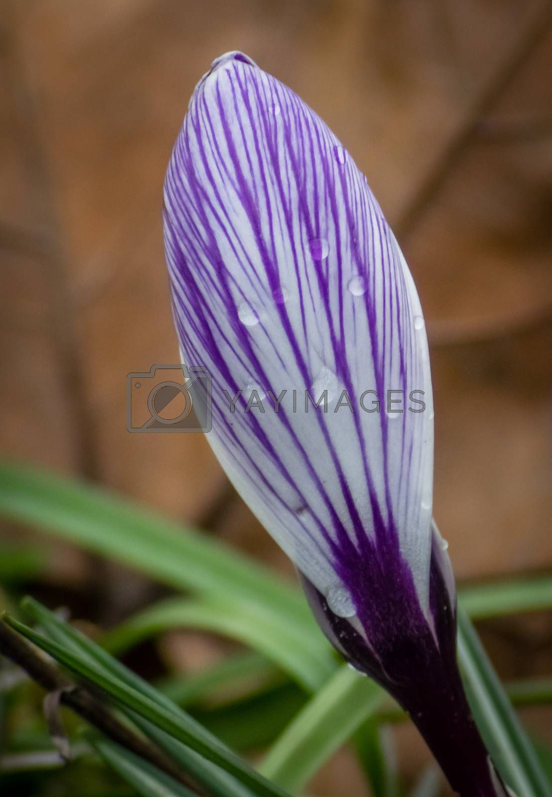 Raindrops on a closed crocus vernus bud on a meadow in spring