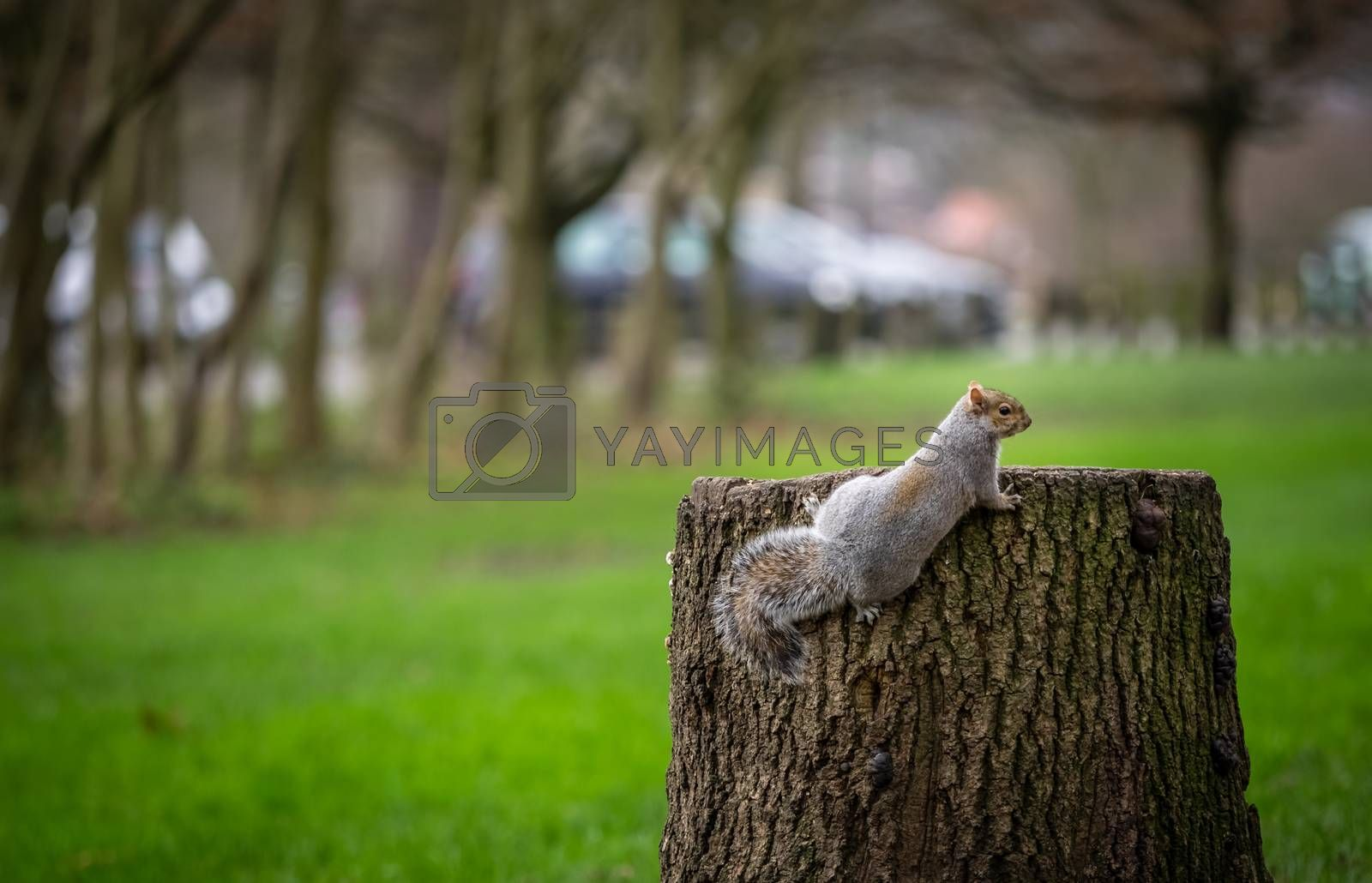 Close up of a grey squirrell climbing tree stump