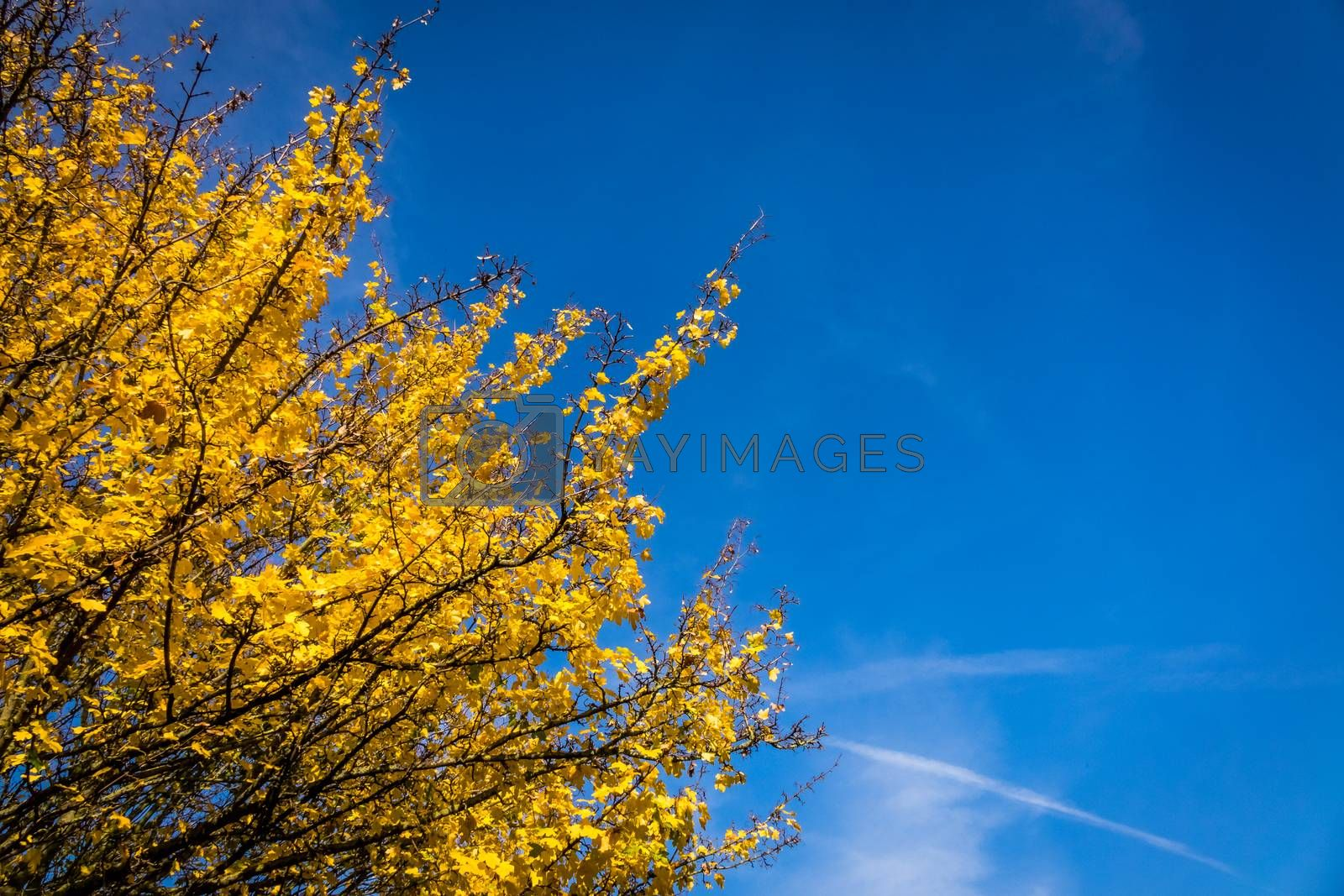 Yellow leaves of a blossoming tree in spring