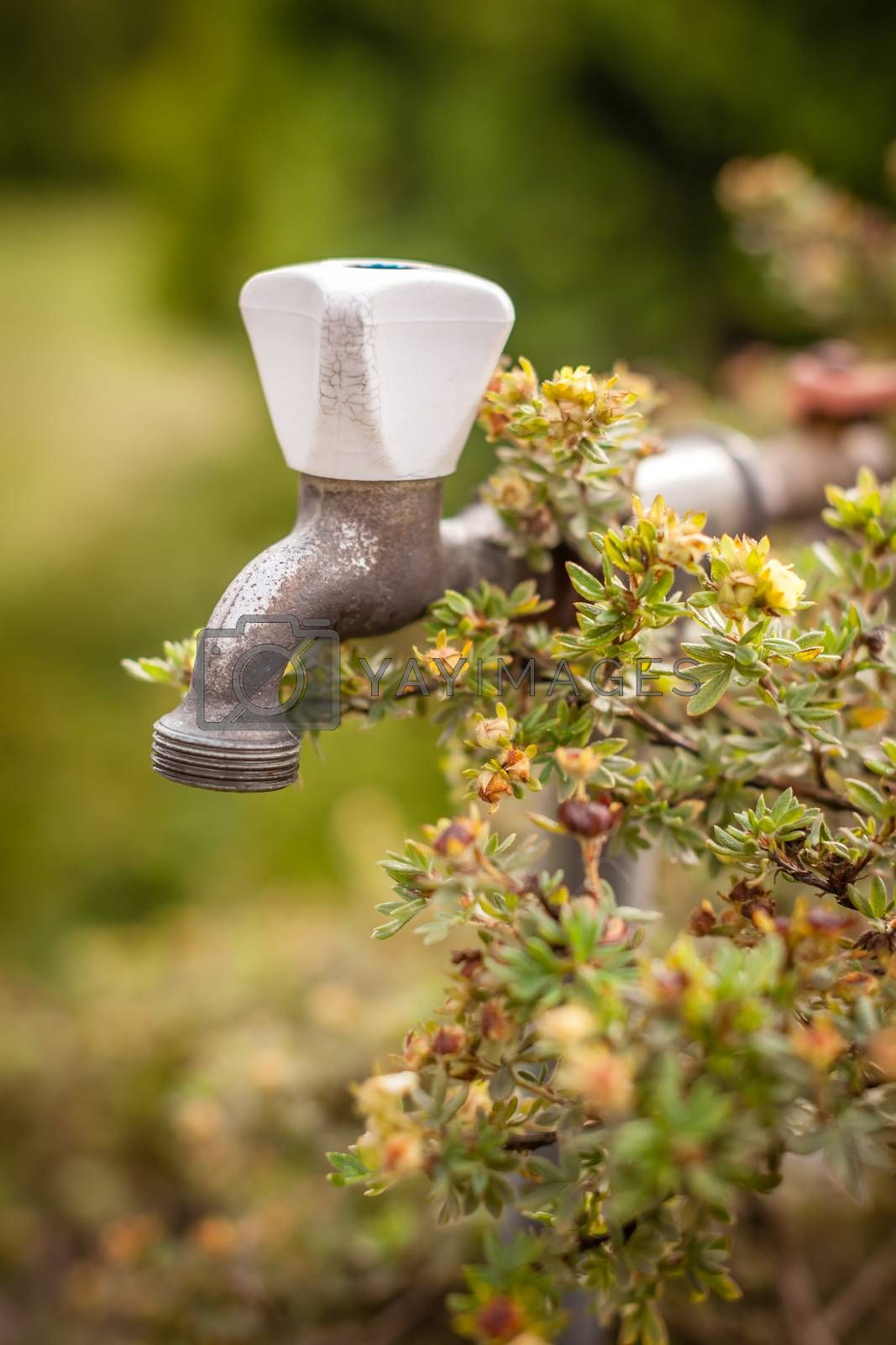 Close up picture of a water tap in the garden