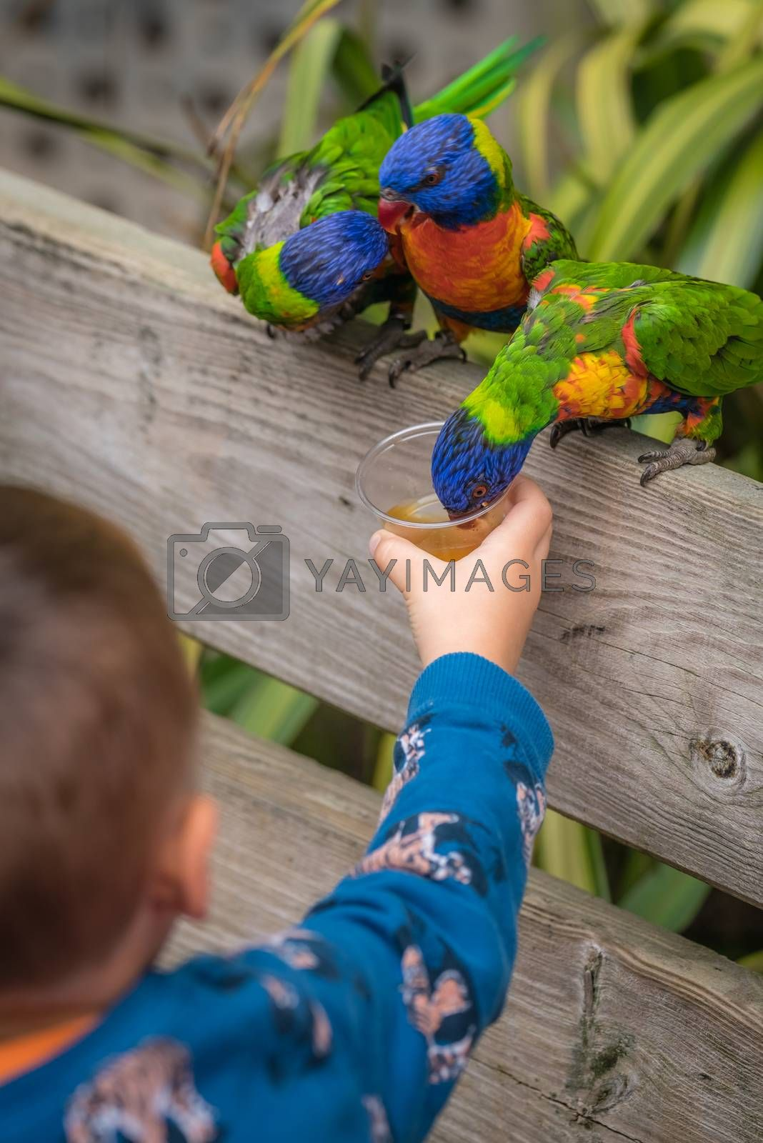 Little boy feeding sweet nectar to Colourful parrot Rainbow called Lorikeets