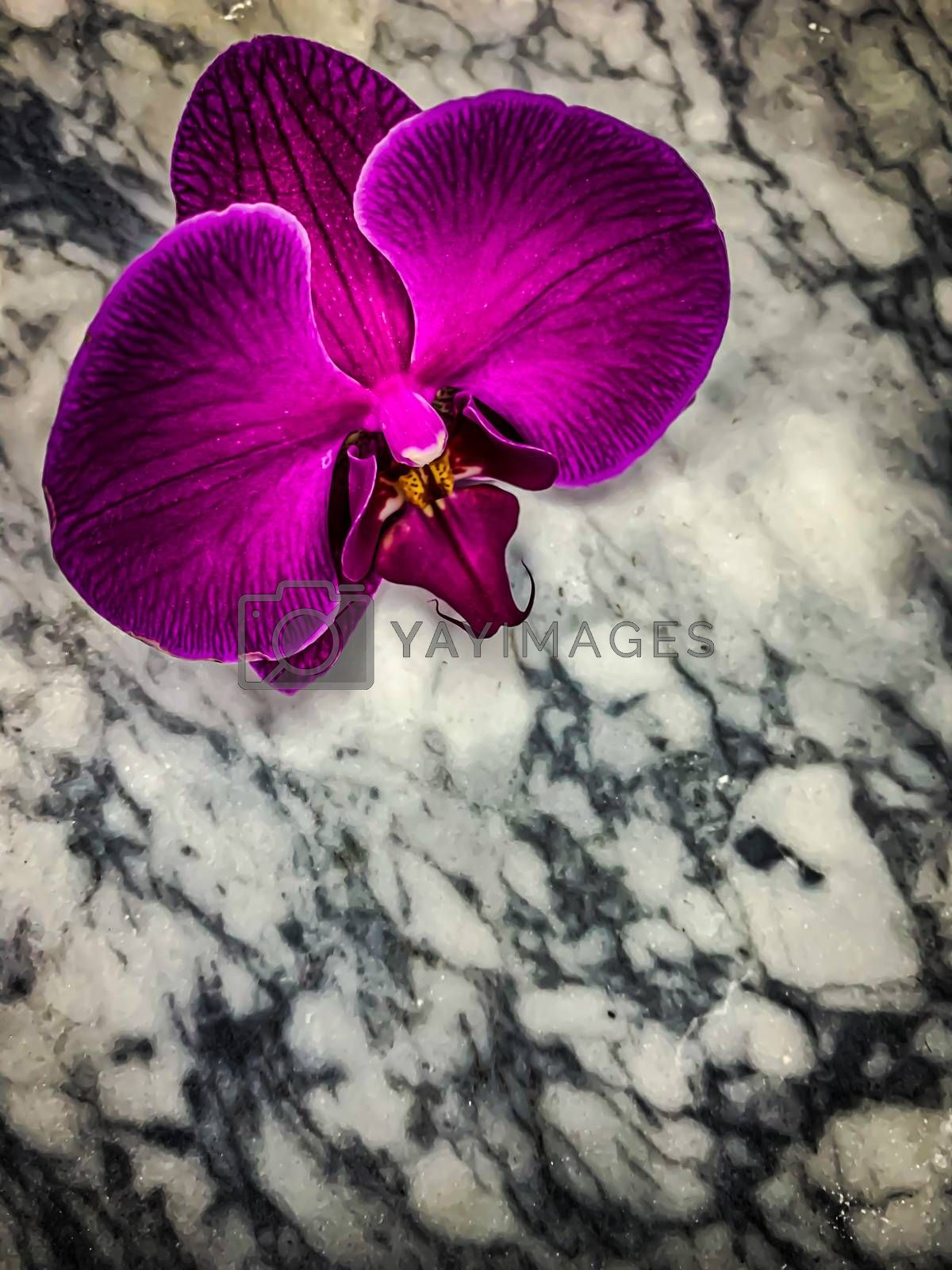 Mysterious Gothic purple orchid on a gray marble background. Vertical image Phalaenopsis wallpaper