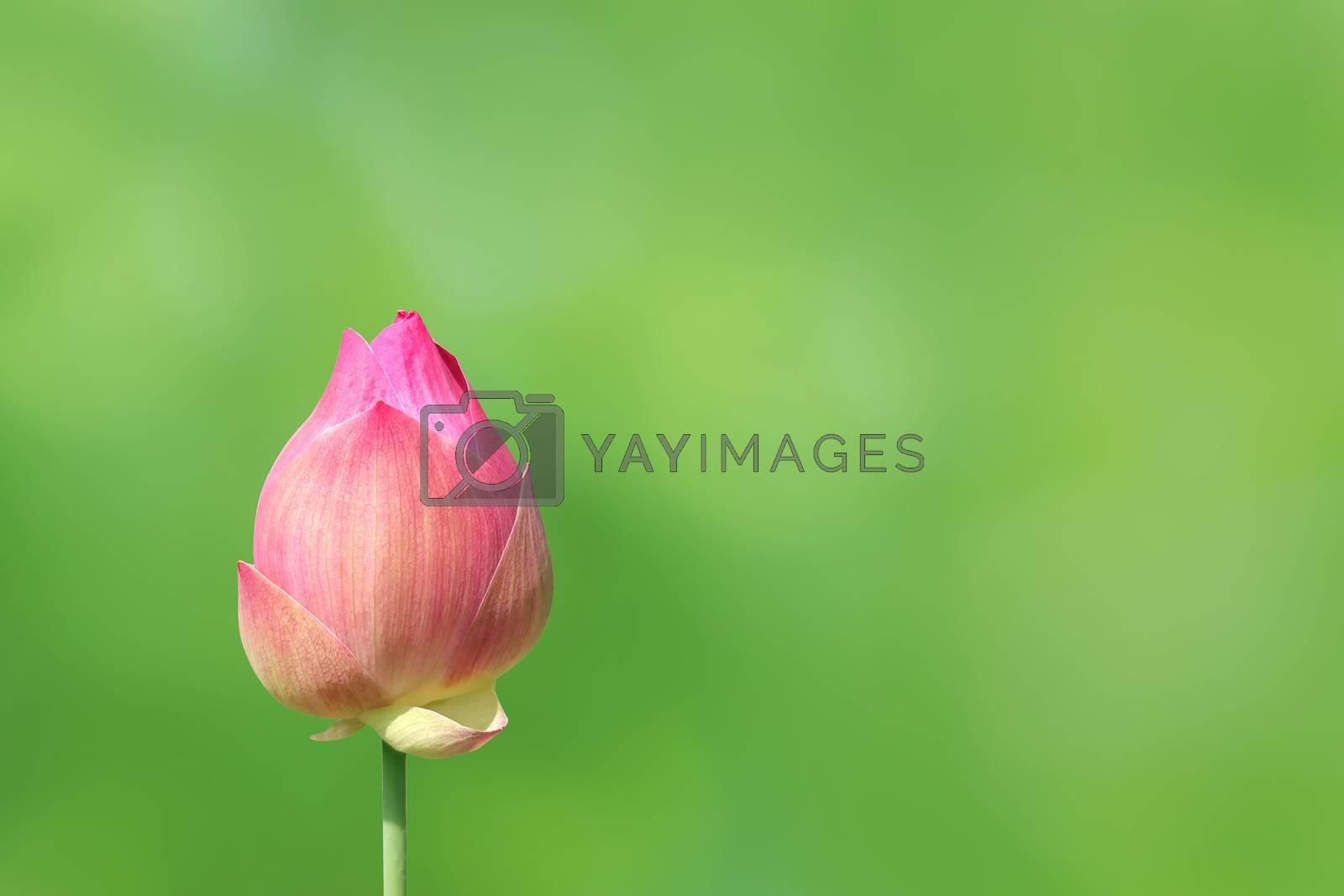 lotus bud on nature green background, lotus pink close-up photos, lotus bud pink flower, beautiful buds pink nature