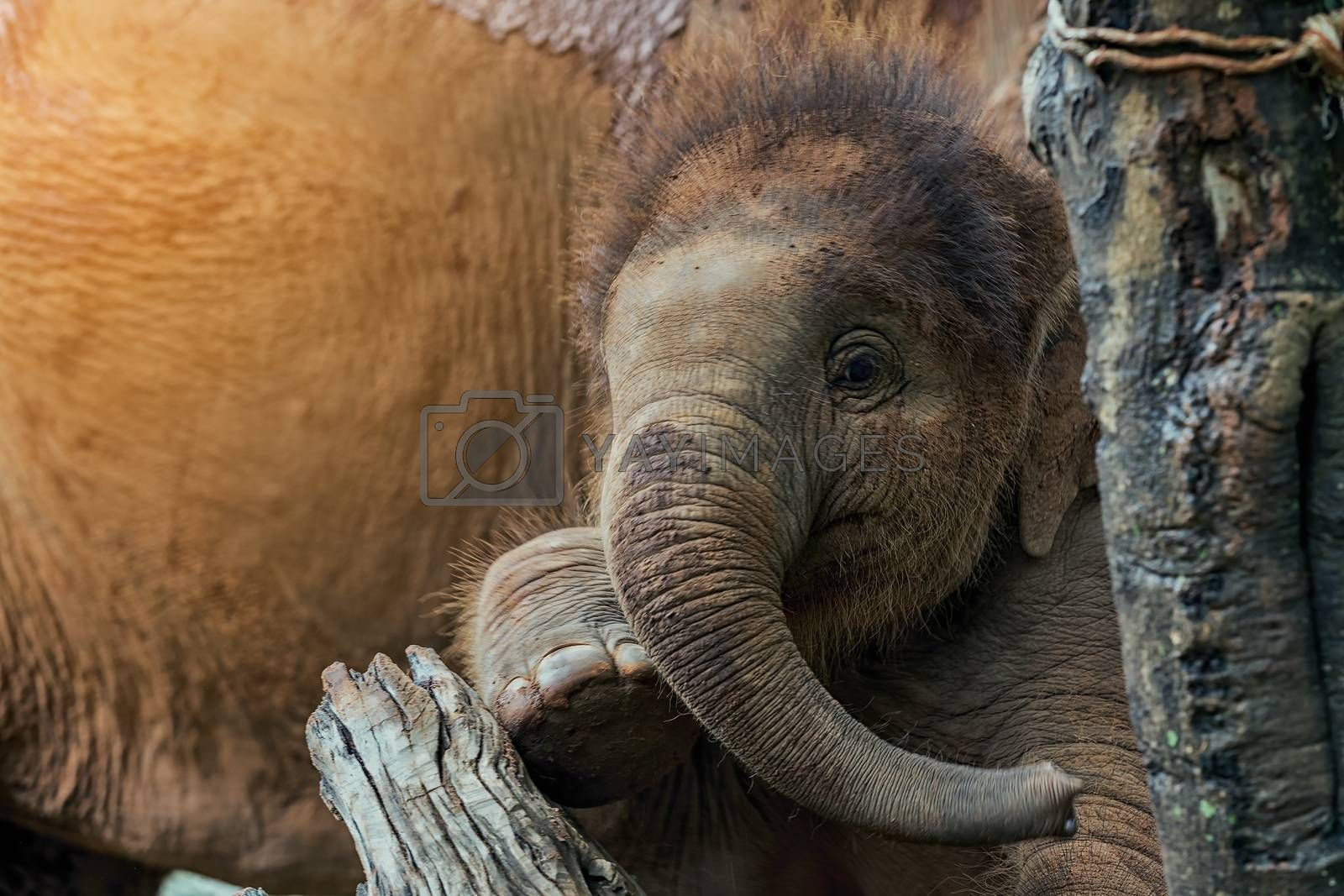 Baby elephant climbing tree plays mischievous with mother.