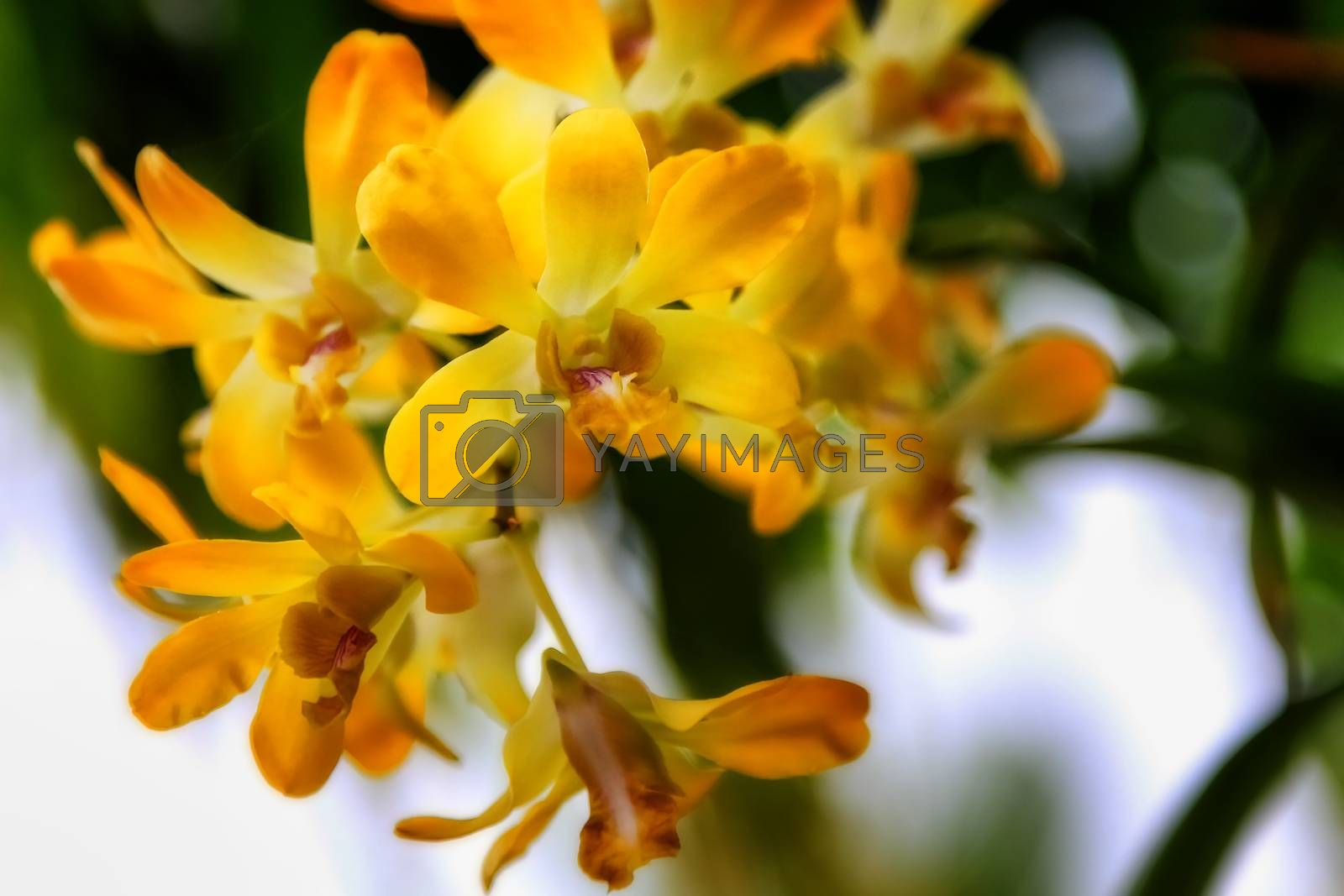 Yellow Orchid in Nature by numberone9018