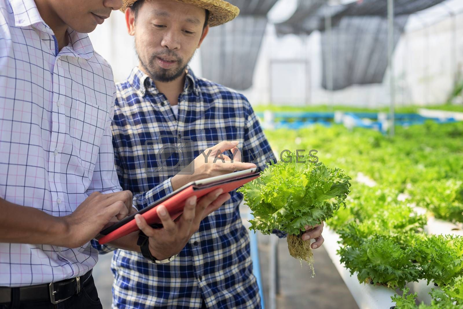 Vegetable farm owners and vegetable quality inspectors are always checking the quality of vegetables on the farm to be non-toxic and fresh.