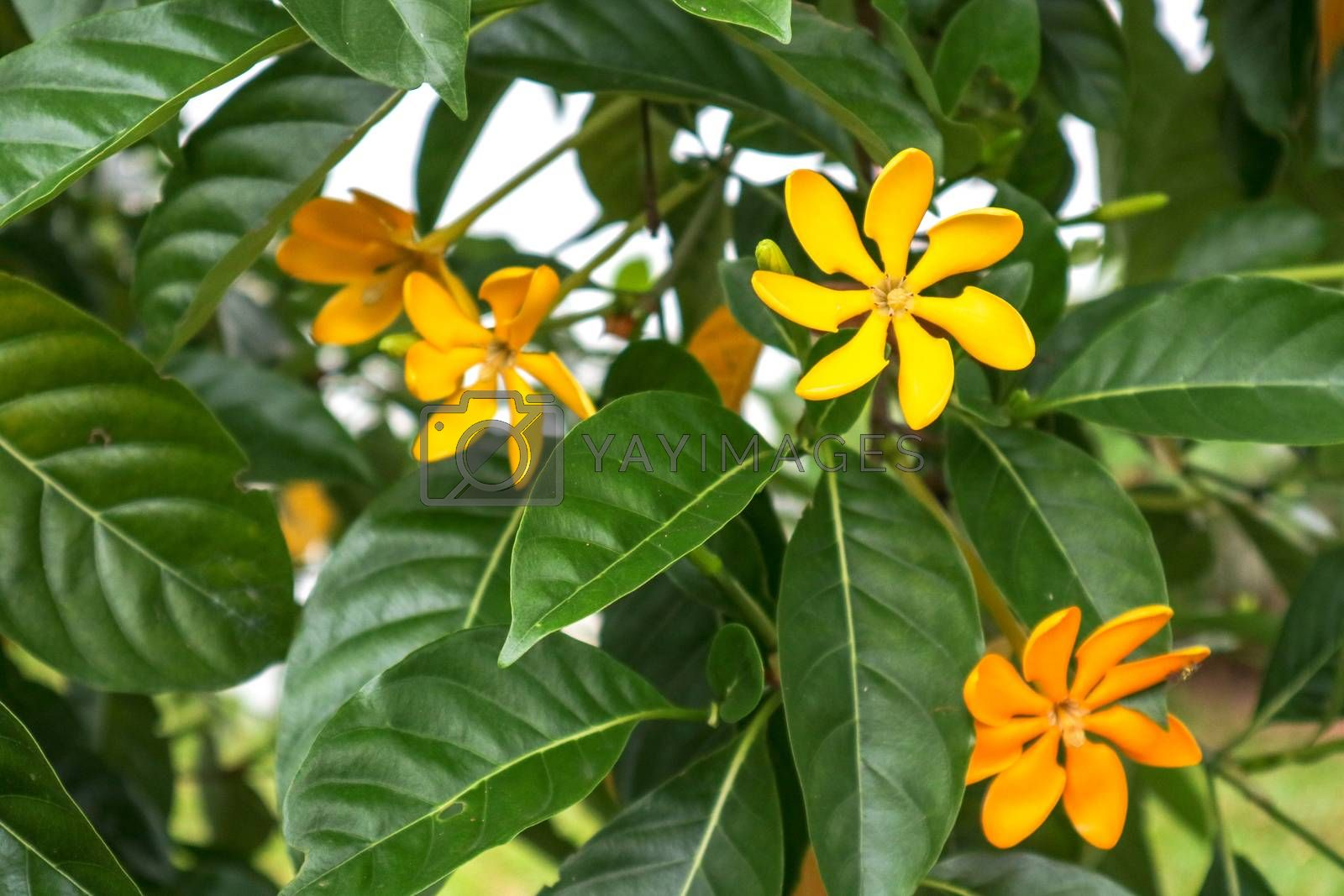 Gardenia carinata is a large tropical shrub or small tree, Blooms from spring to fall