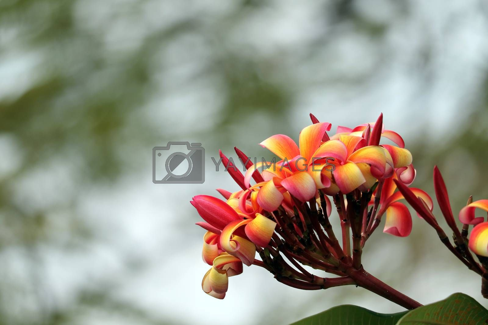 plumeria red white orange yellow bouquet flower blooming in the park blur background