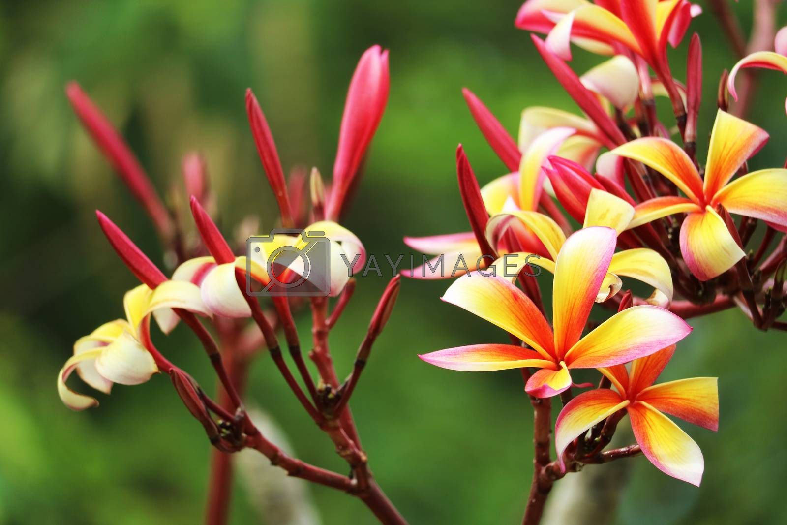 plumeria red white orange yellow bouquet flower blooming in the park