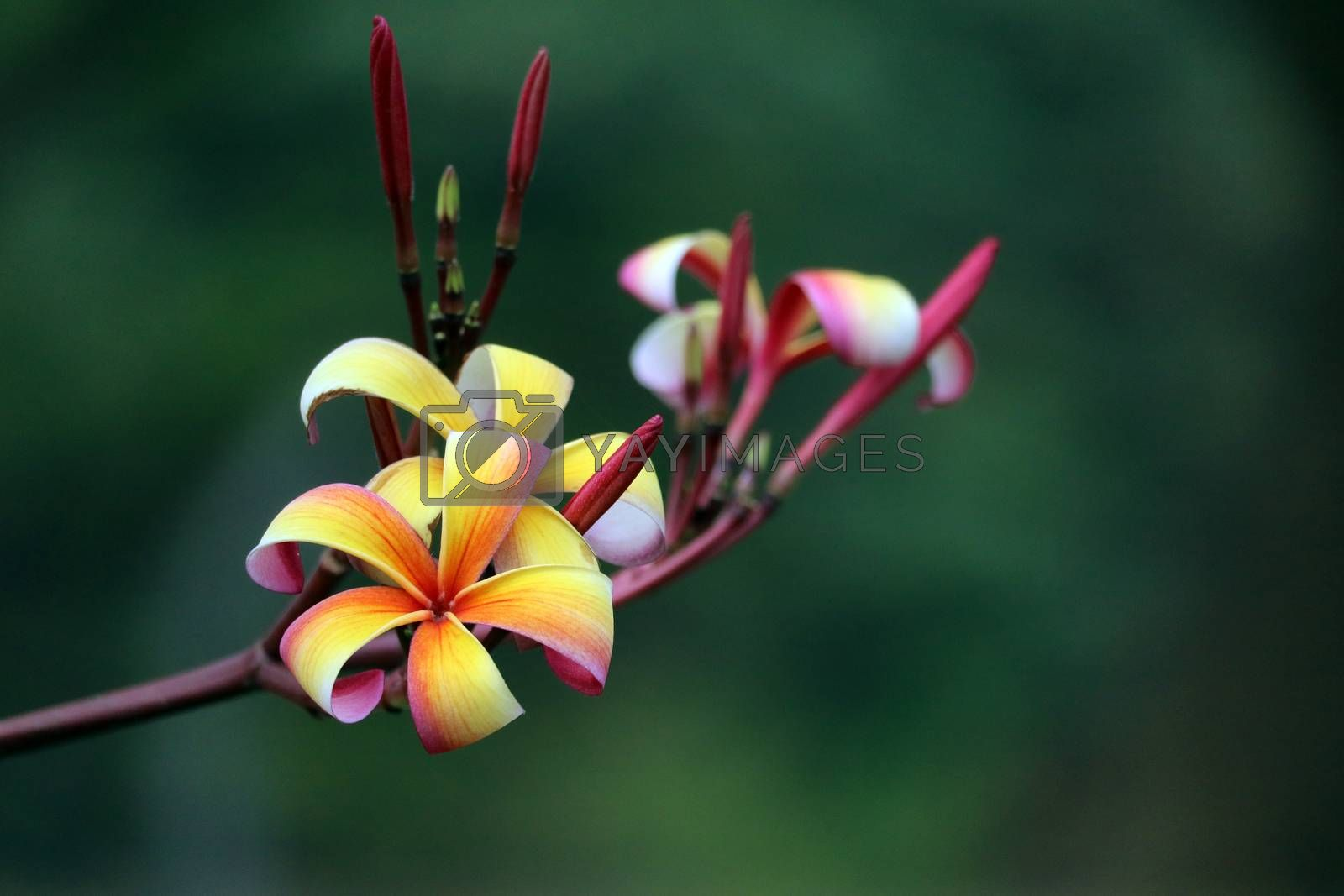 plumeria red white orange yellow bouquet flower blooming in park