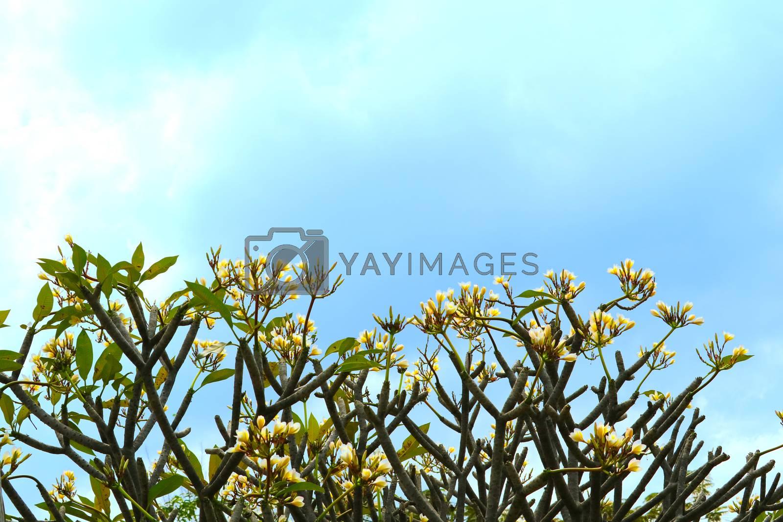 plumeria white yellow bouquet flower blooming in the garden