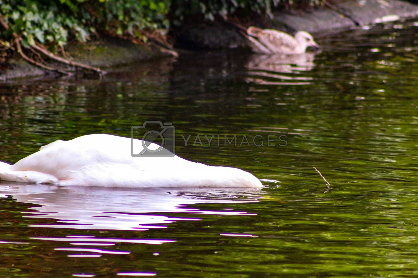 White swan in the foggy lake at the dawn. Morning lights. Romantic background. Beautiful swan. Cygnus. Romance of white swan with clear beautiful landscape..