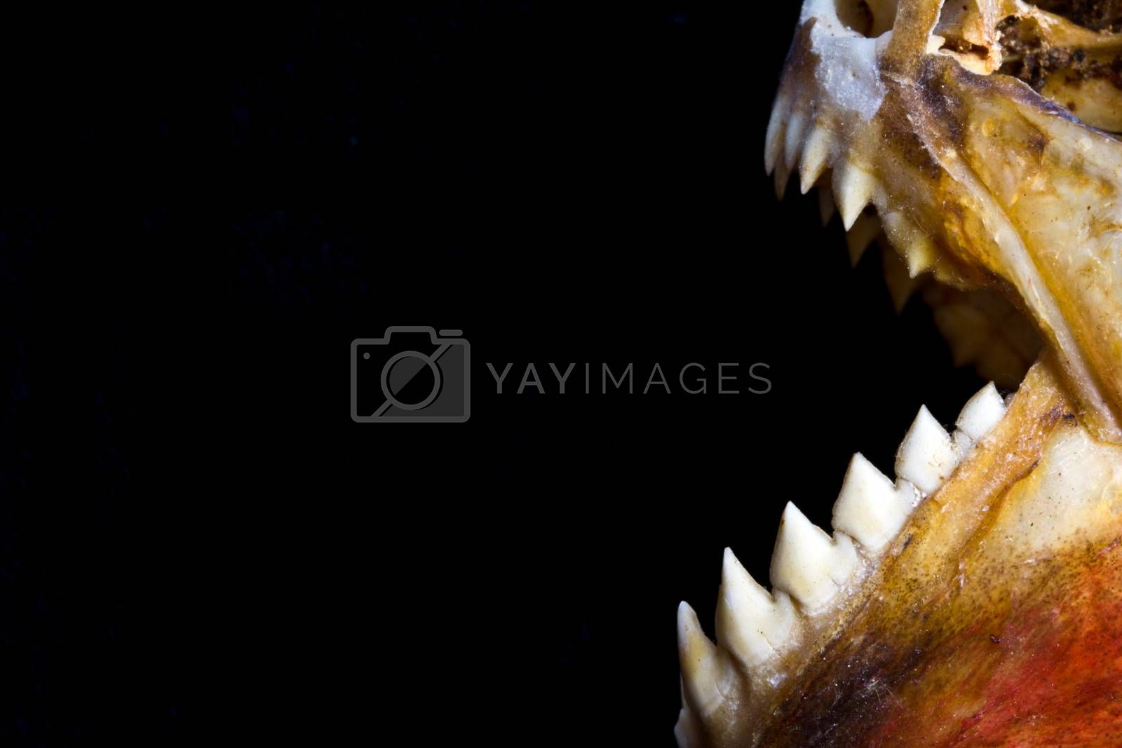 Close Up of an Animal Skull on Plain Background Horror Halloween by shellystill