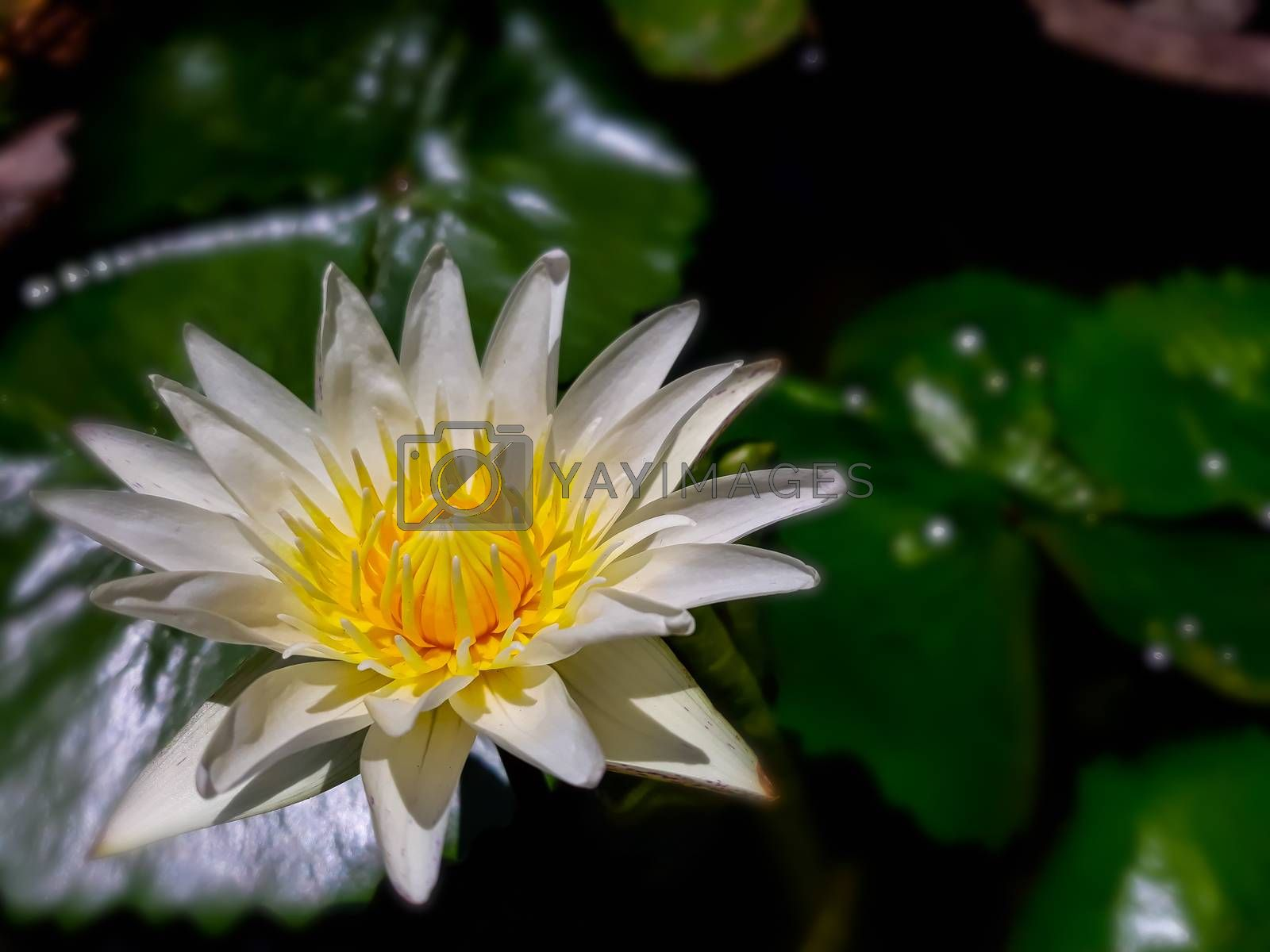 White and yellow lotus in the garden.