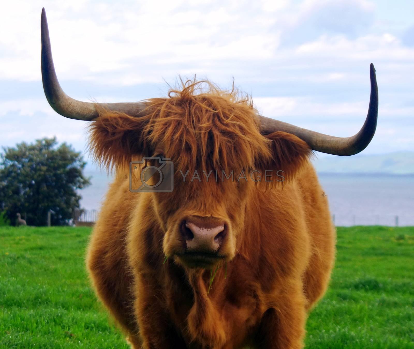 portrait of eating bull