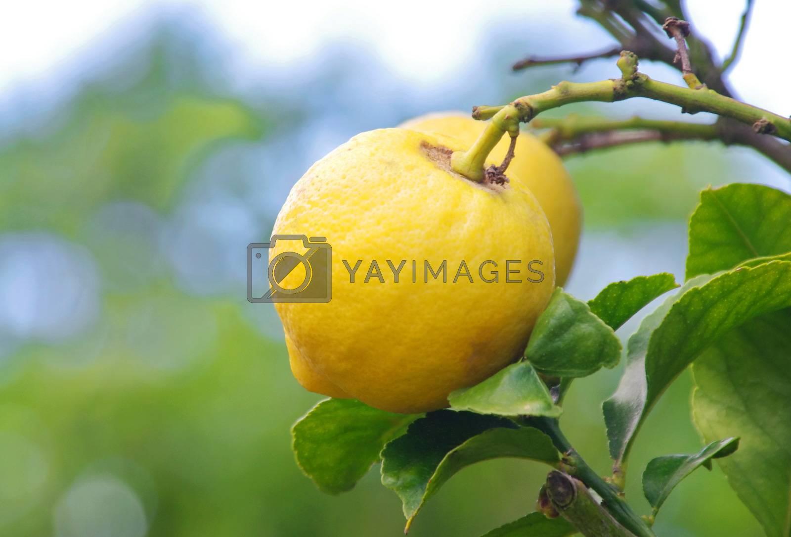 closeup of lemons on lemon tree