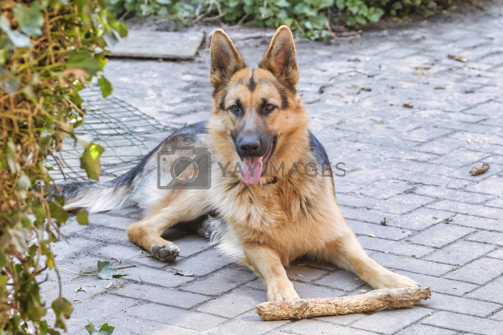 Portrait of a German Shepherd, 1 year old, the dog is lying on the path in the garden with a stick.