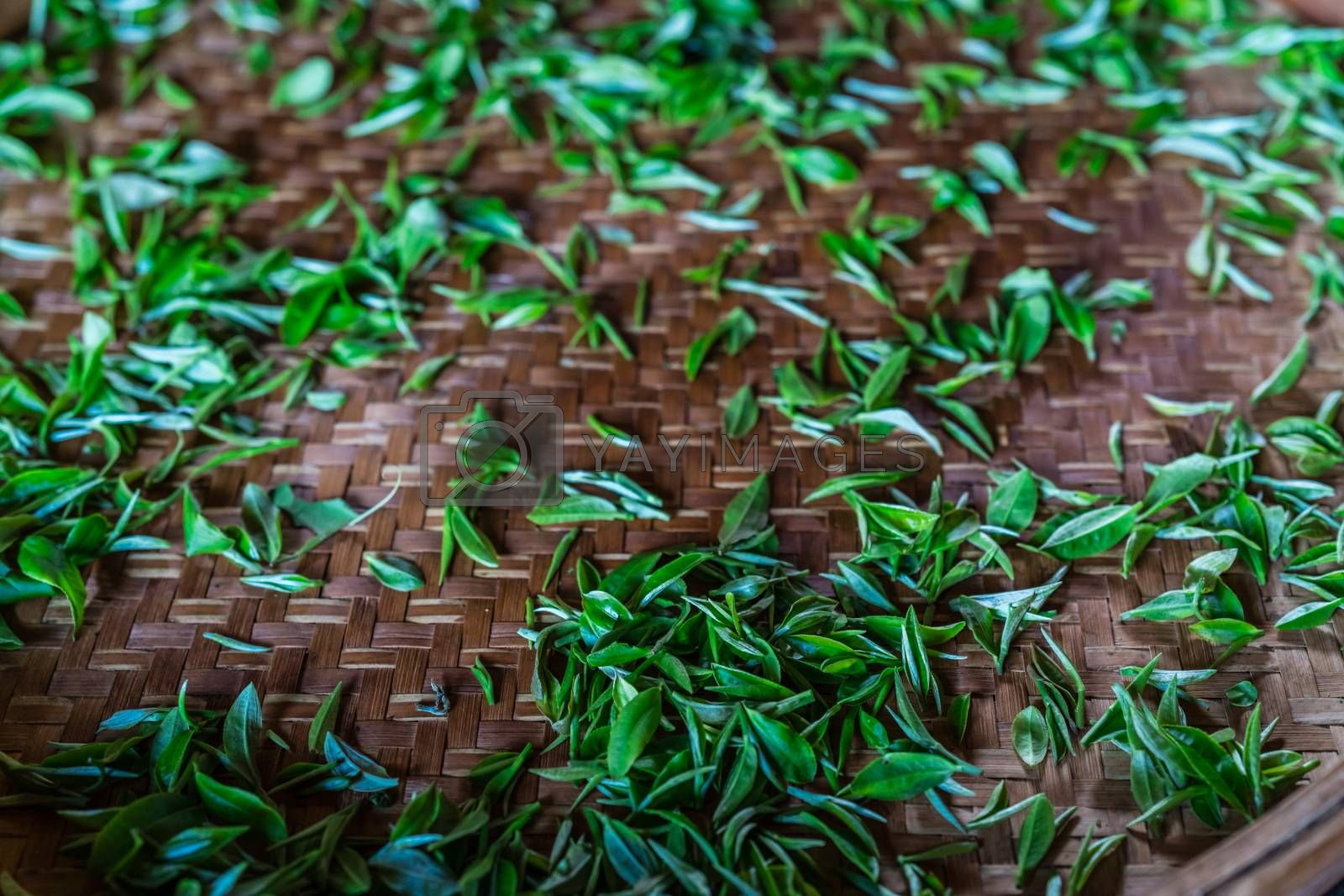 Royalty free image of Shot of fresh tea leaves gathered from the plantation spread on  by pawopa3336