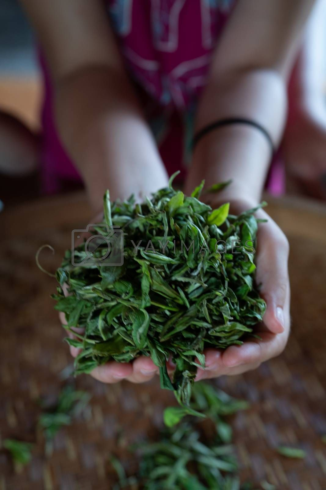 Royalty free image of Vertical shot of fresh tea leaves gathered from the plantation by pawopa3336