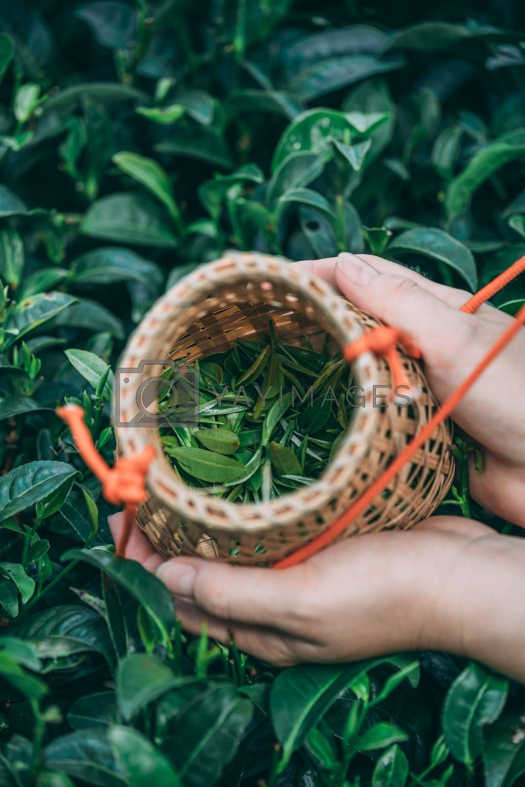 Vertical shot of a female collecting tea leaves by pawopa3336