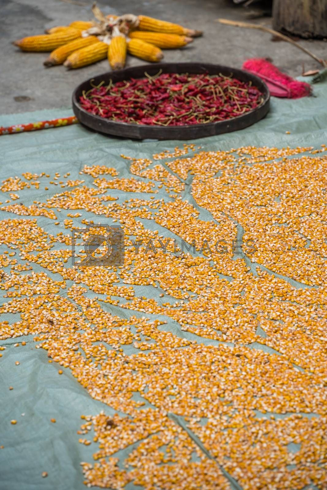 High angle shot of dry chili peppers with corn seeds on the grou by pawopa3336