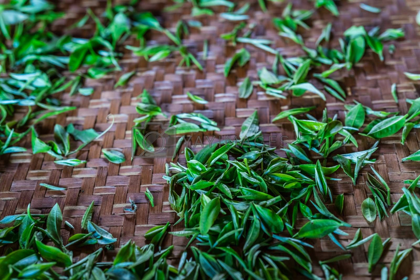 Close up shot of fresh tea leaves gathered from the plantation spread on a tray