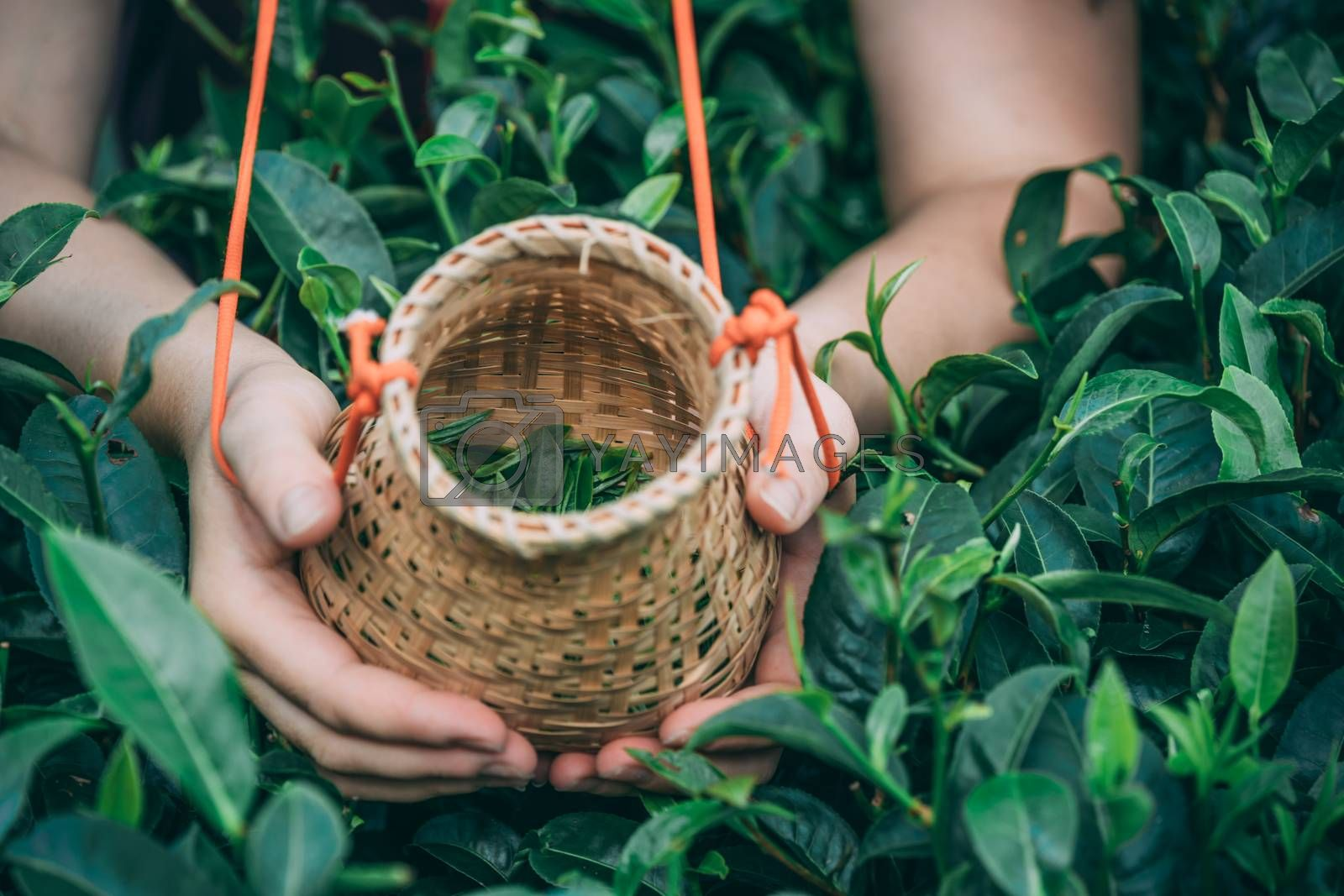 A horizontal shot of a female worker holding small wicker basket with collected tea leaves