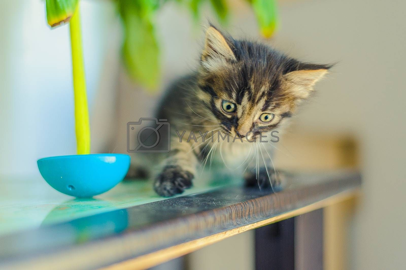 striped kitten sits on a table near a tilting toy
