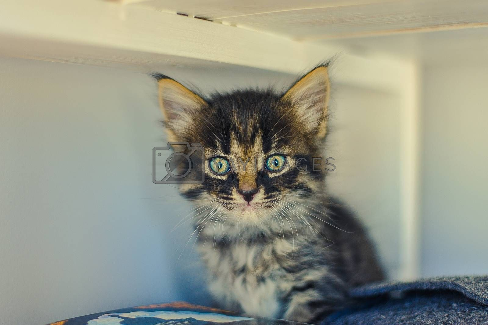 gray kitten with stripes and big eyes sits on a white shelf