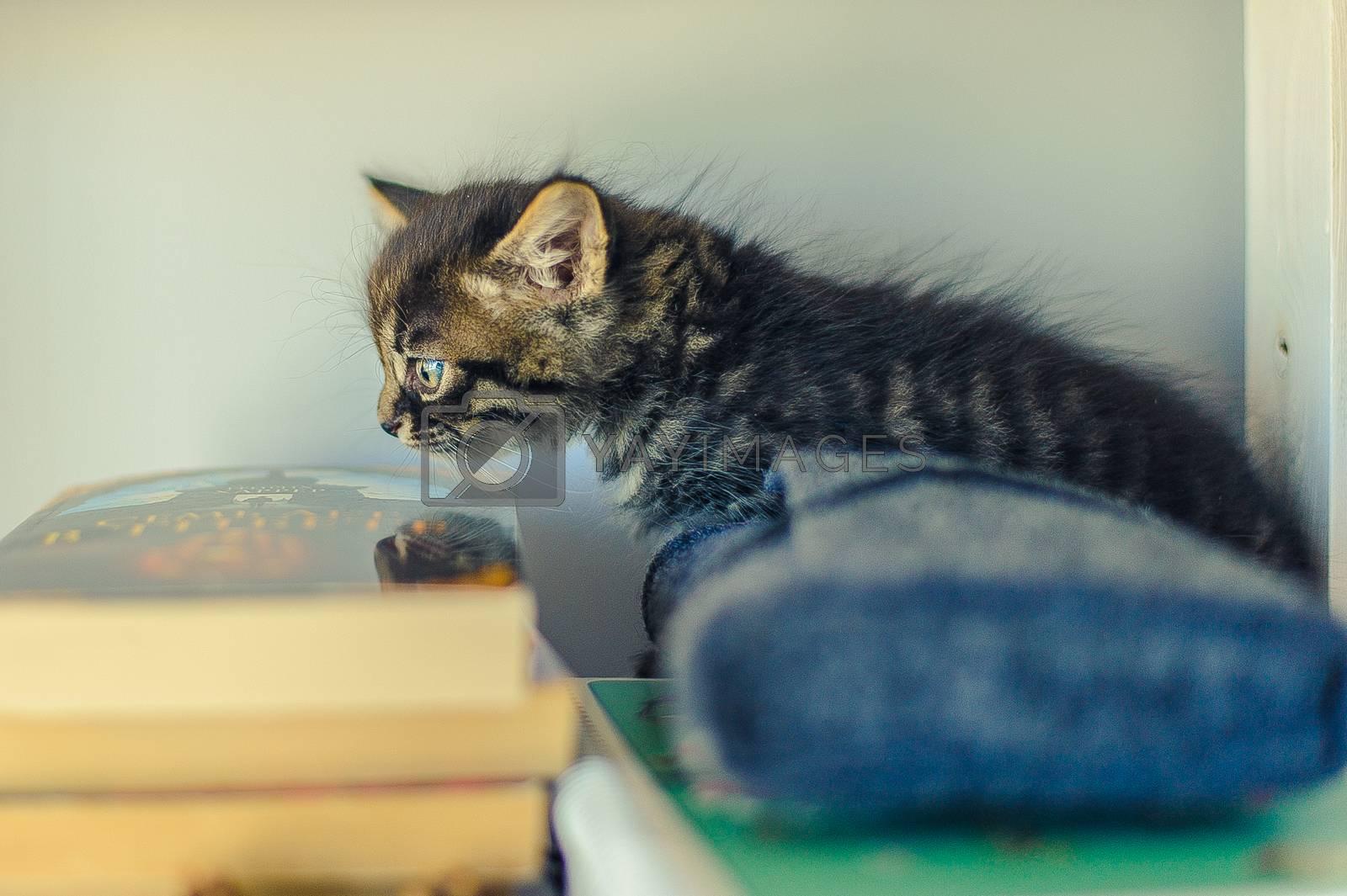 gray striped kitten sits on book shelves