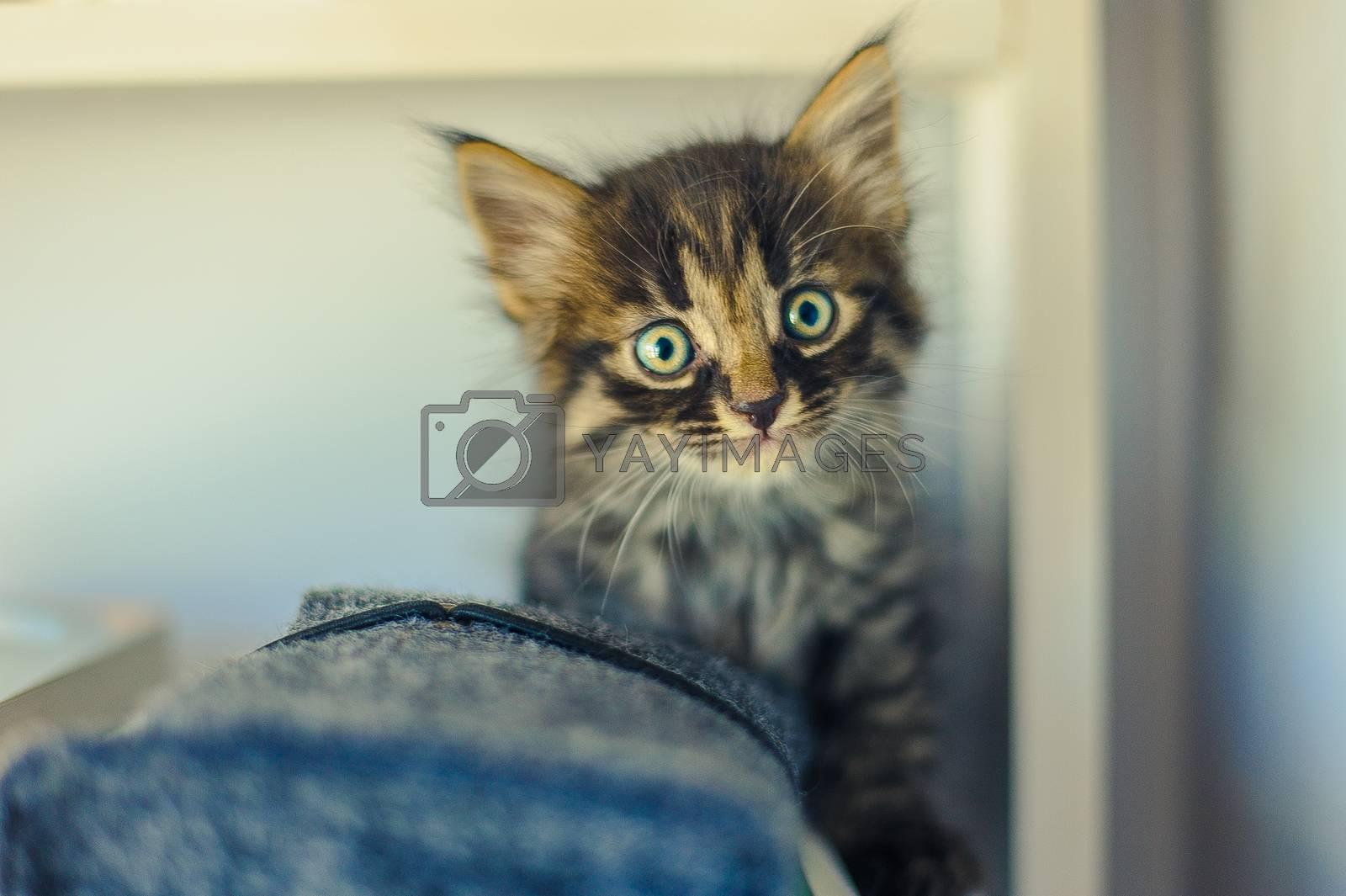 gray striped kitten sits on white shelves