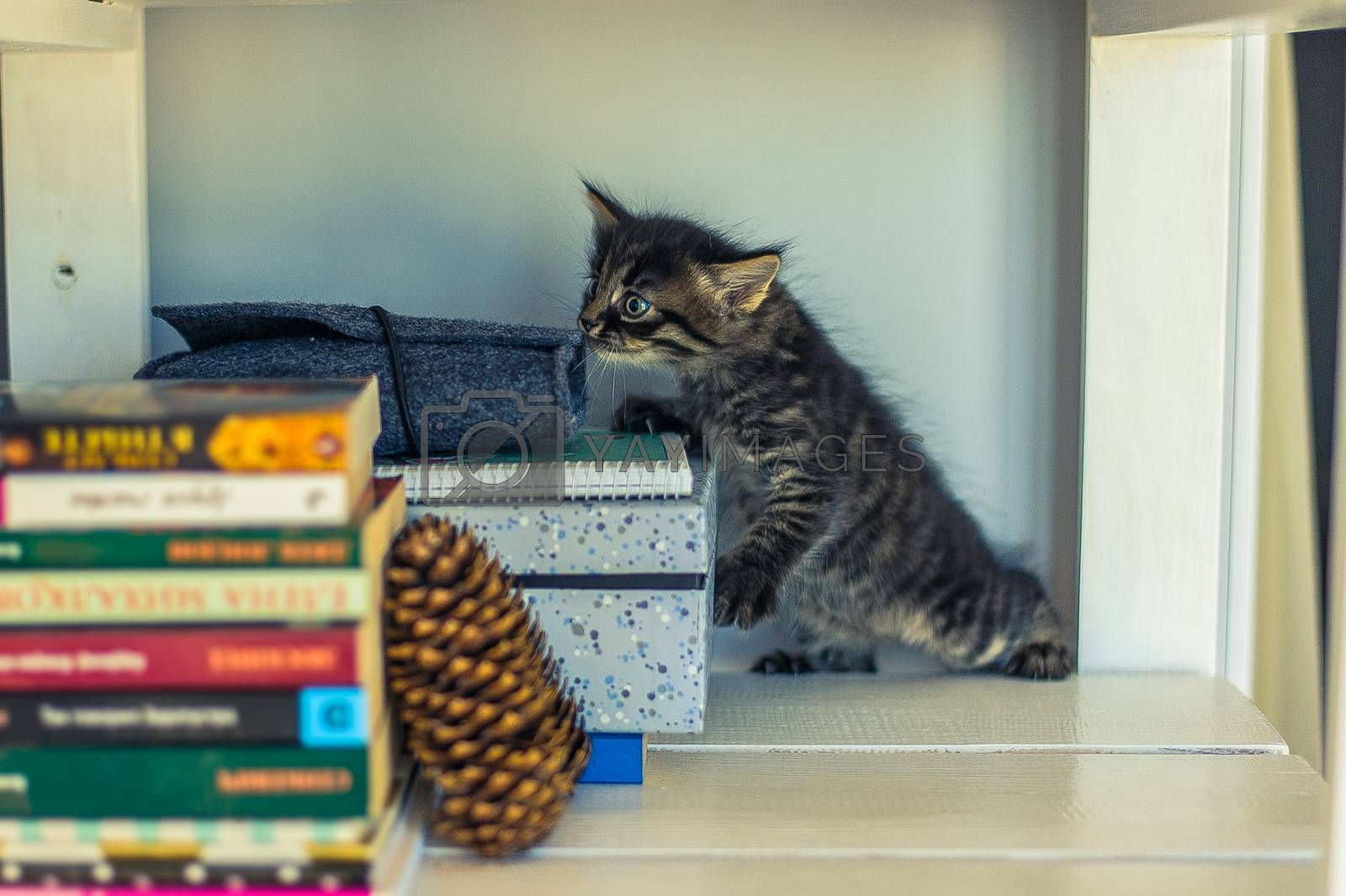 gray striped kitten sniffing books on a white shelf with a fir cone