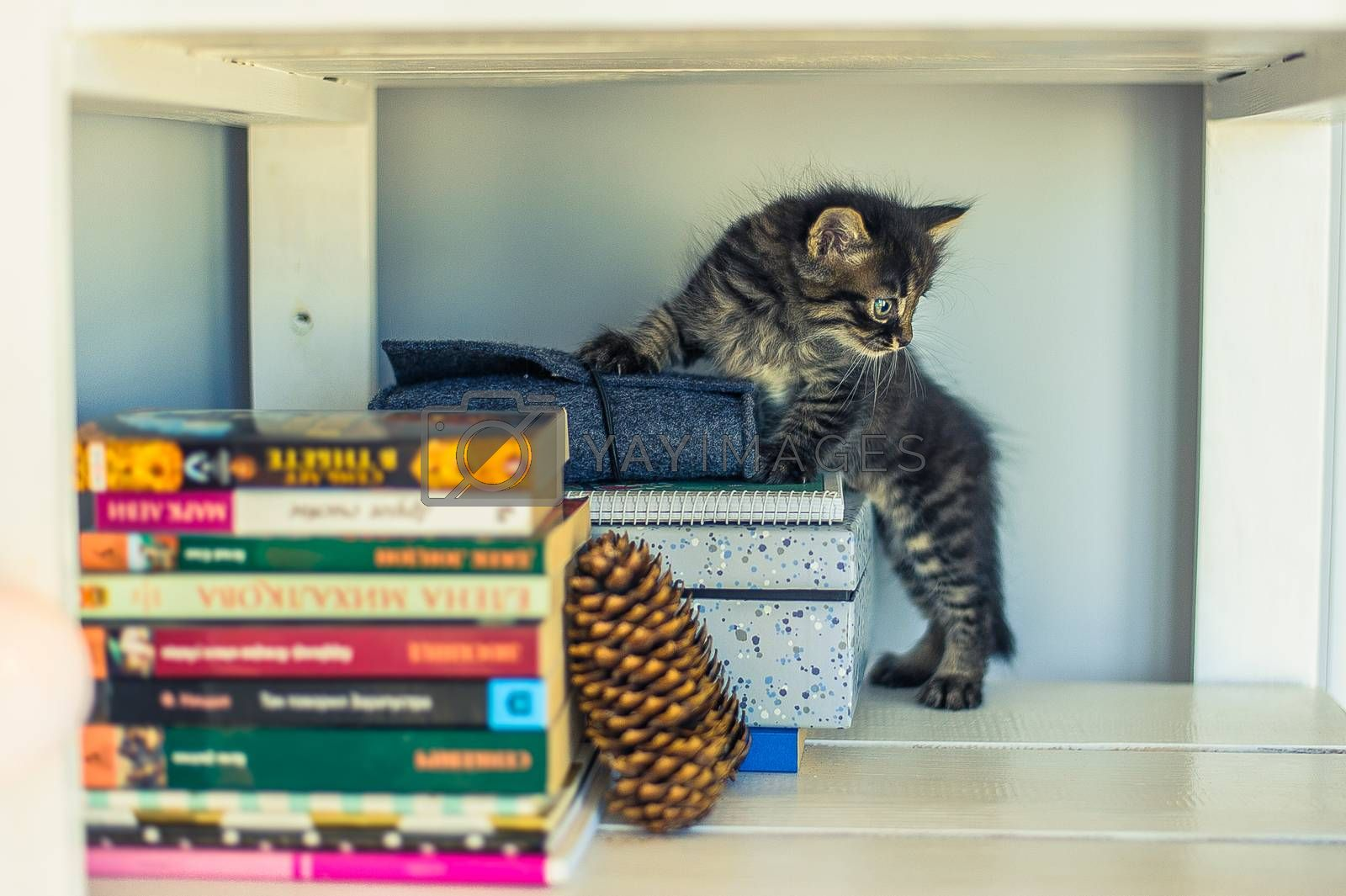 gray striped kitten stands on a bookshelf with a fir cone
