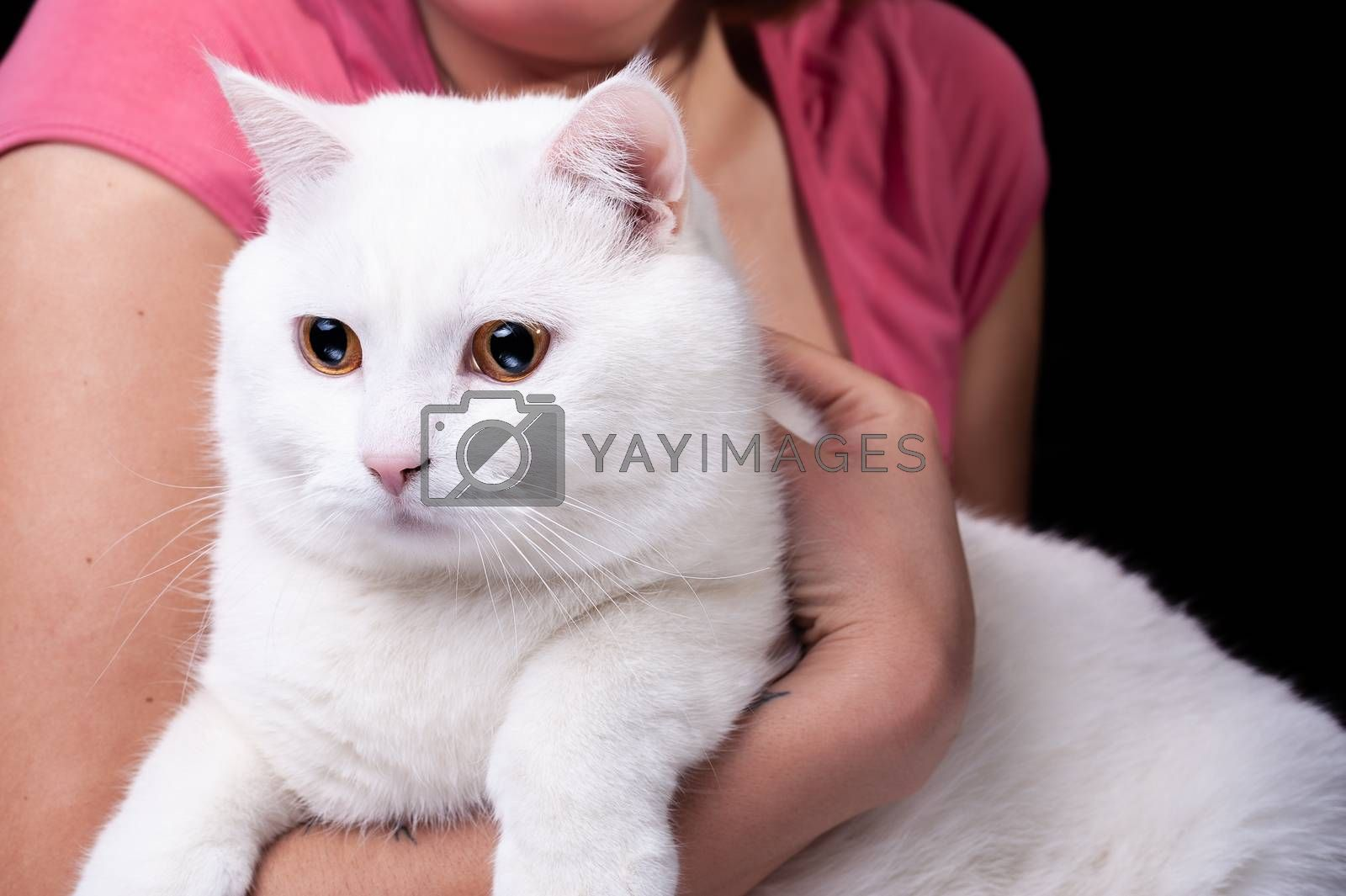 beautiful big white cat hold in arms on an isolated black background