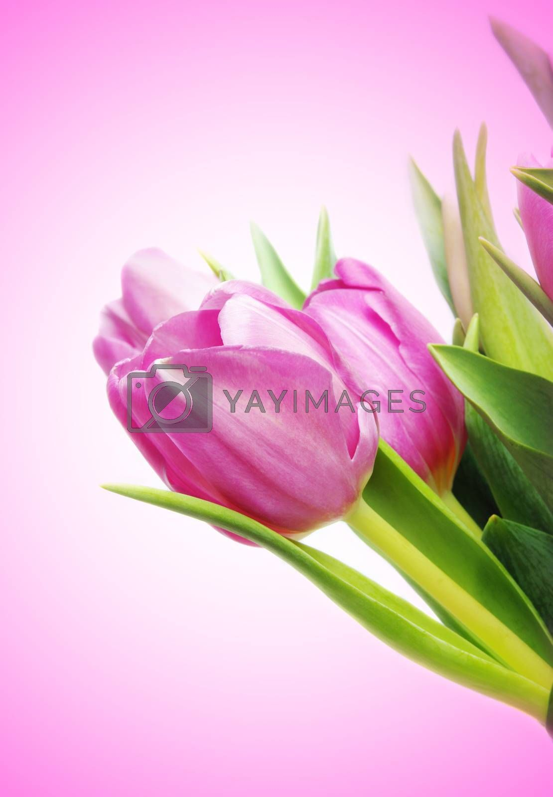 beautiful pink tulips with copy space