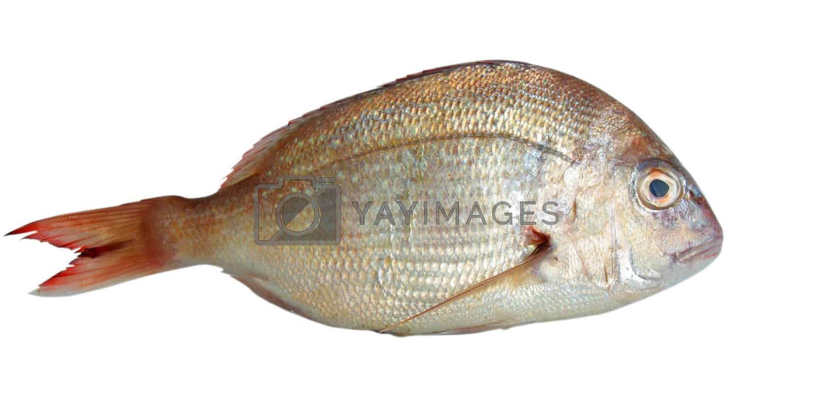 fish closeup over white background